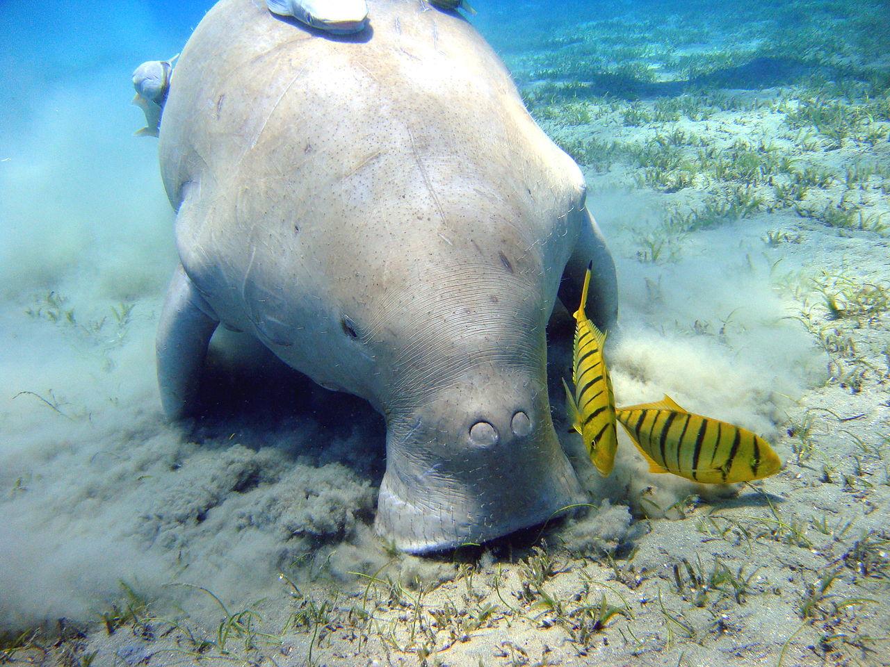 Gabelschwanzseekuh - Dugong