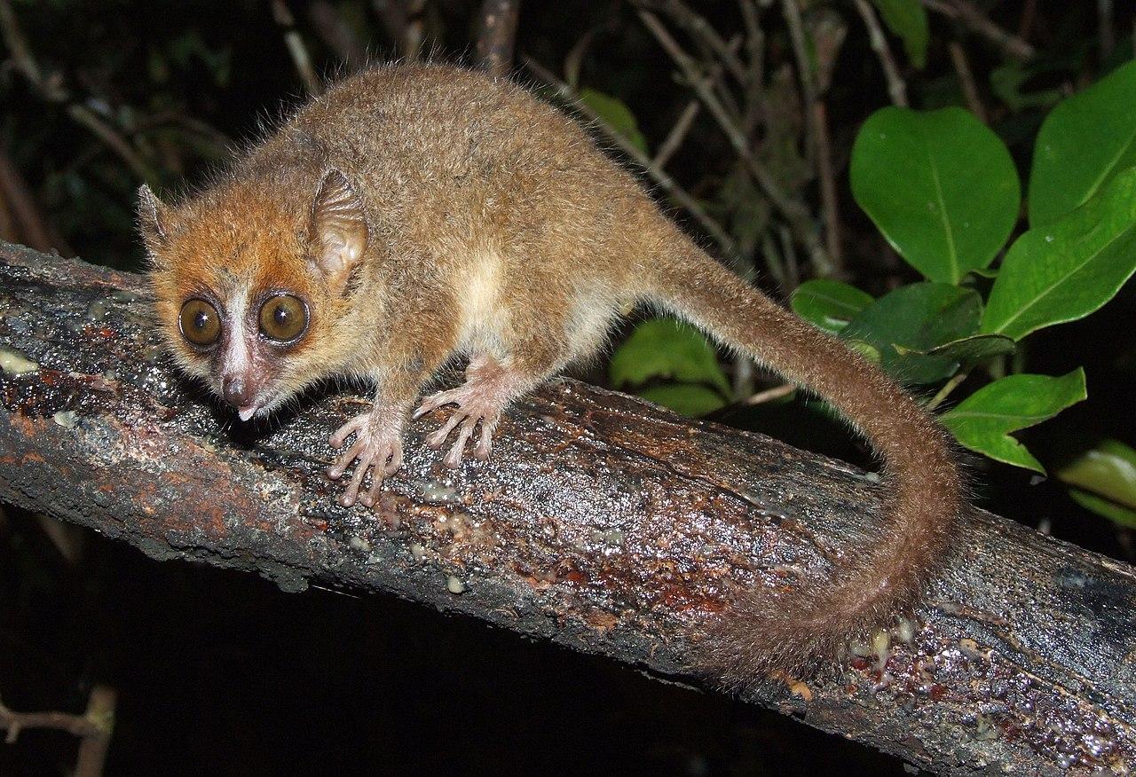 Zwergmausmaki (kleinster Primat)