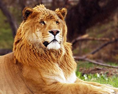 Liger - liger