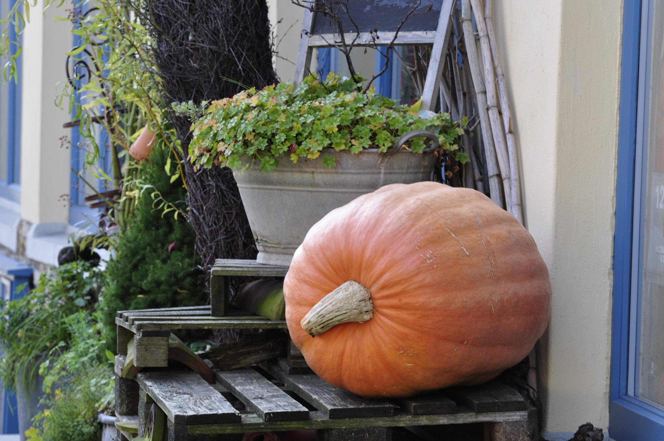 Kürbis - pumpkin