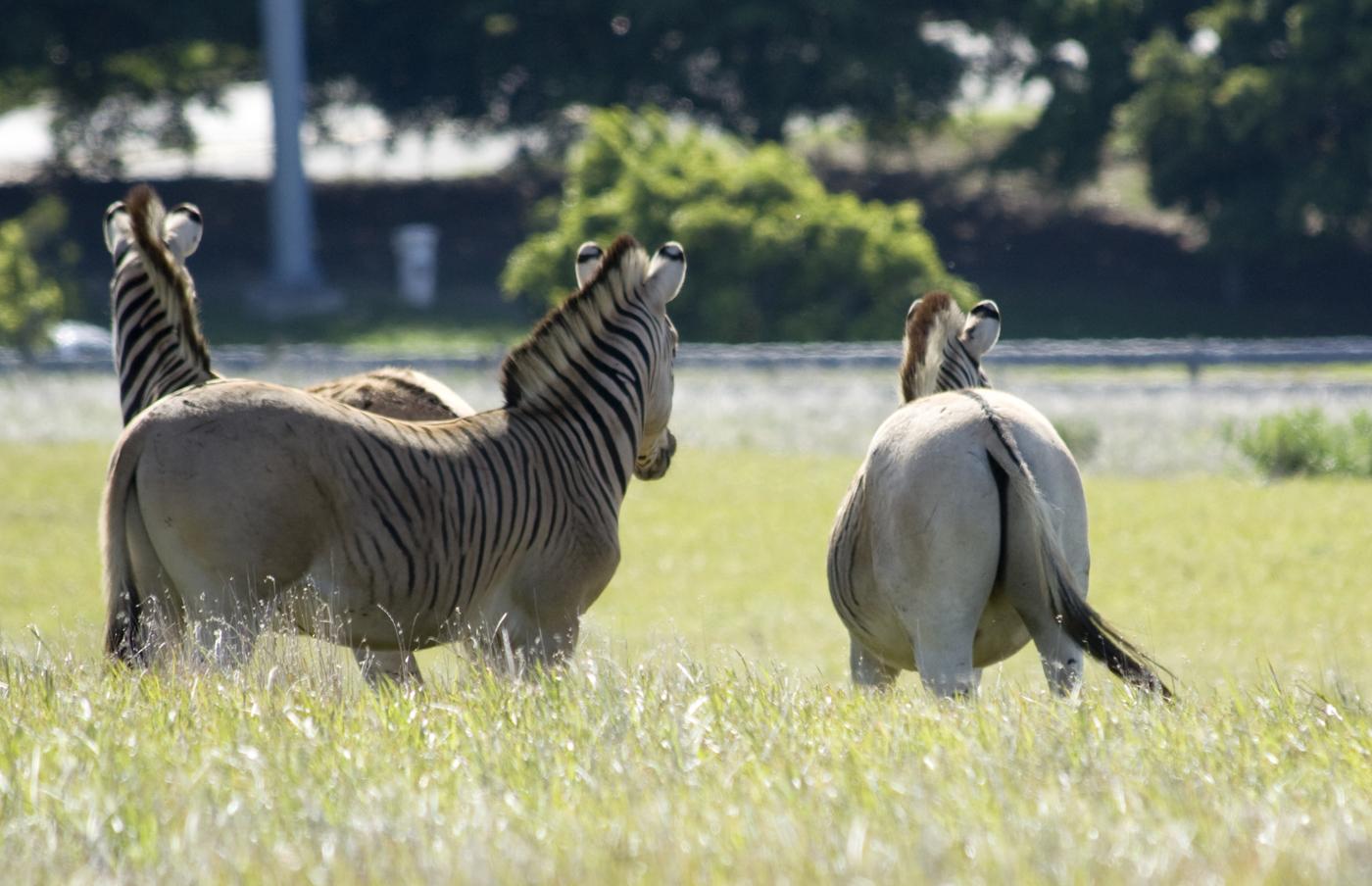 Zebras aus dem Quagga Projekt