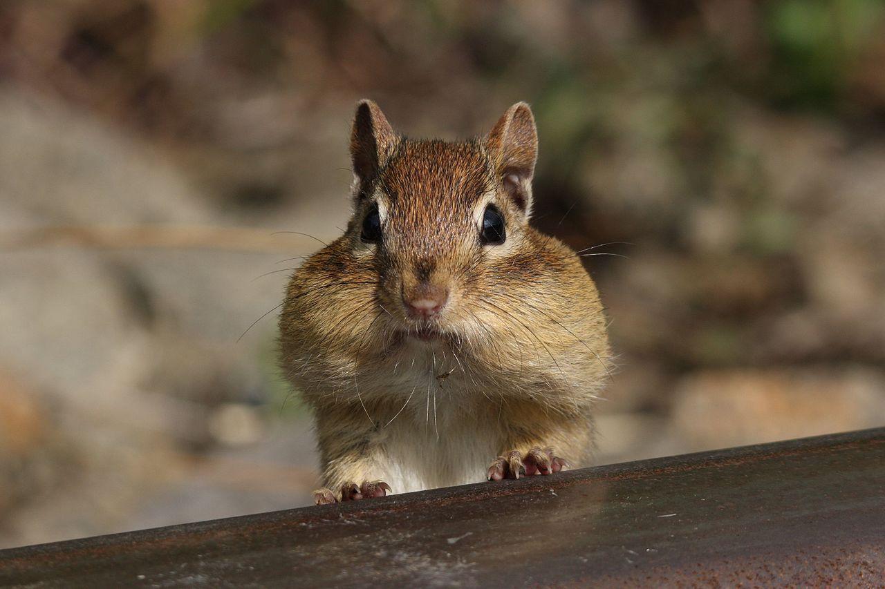 Streifenhörnchen mit gefüllten Backen