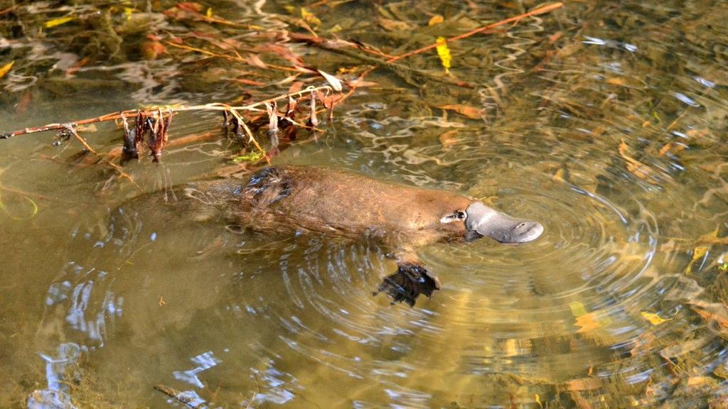 Schnabeltier - platypus