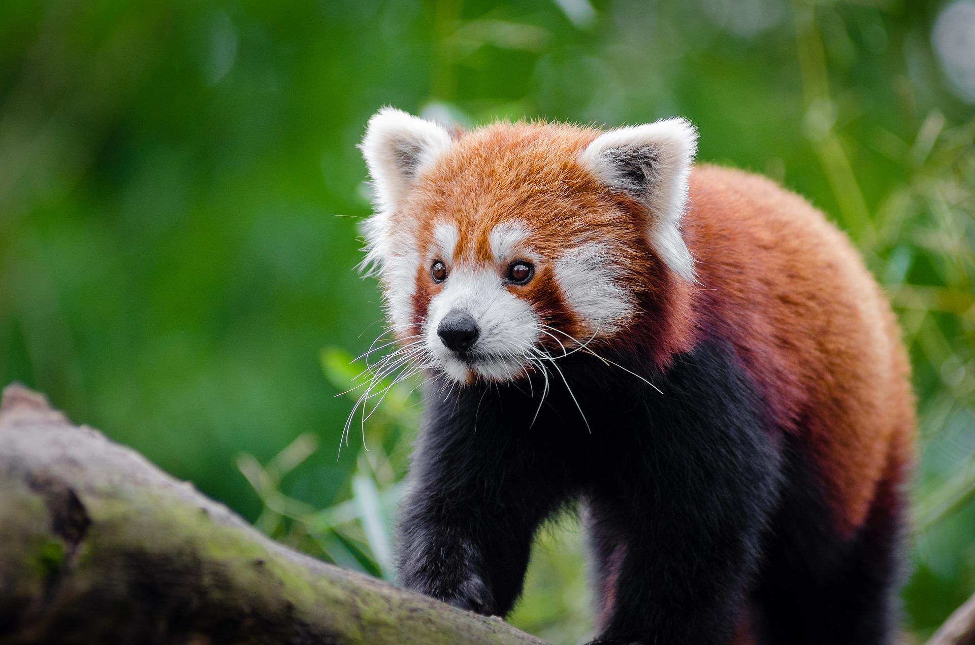Roter Panda (Styans Kleiner Panda oder Chinesischer Katzenbär)