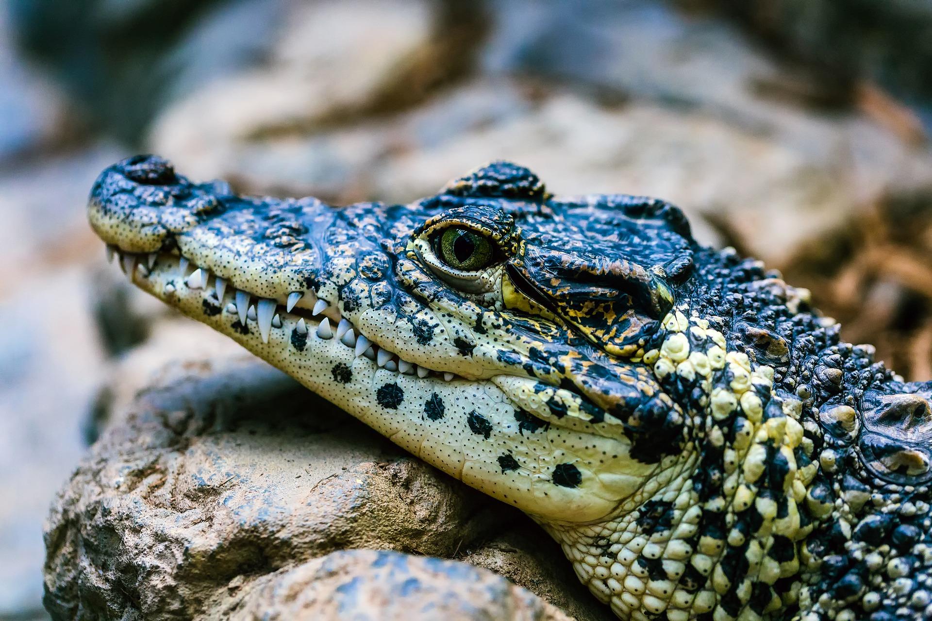 Alligator - alligator