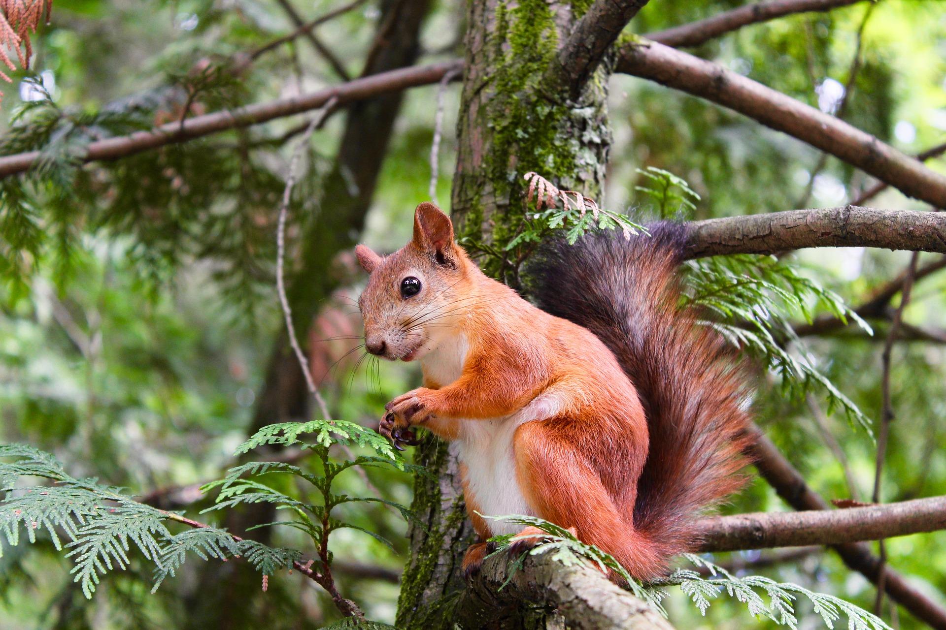 Eurasisches Eichhörnchen - squirrel