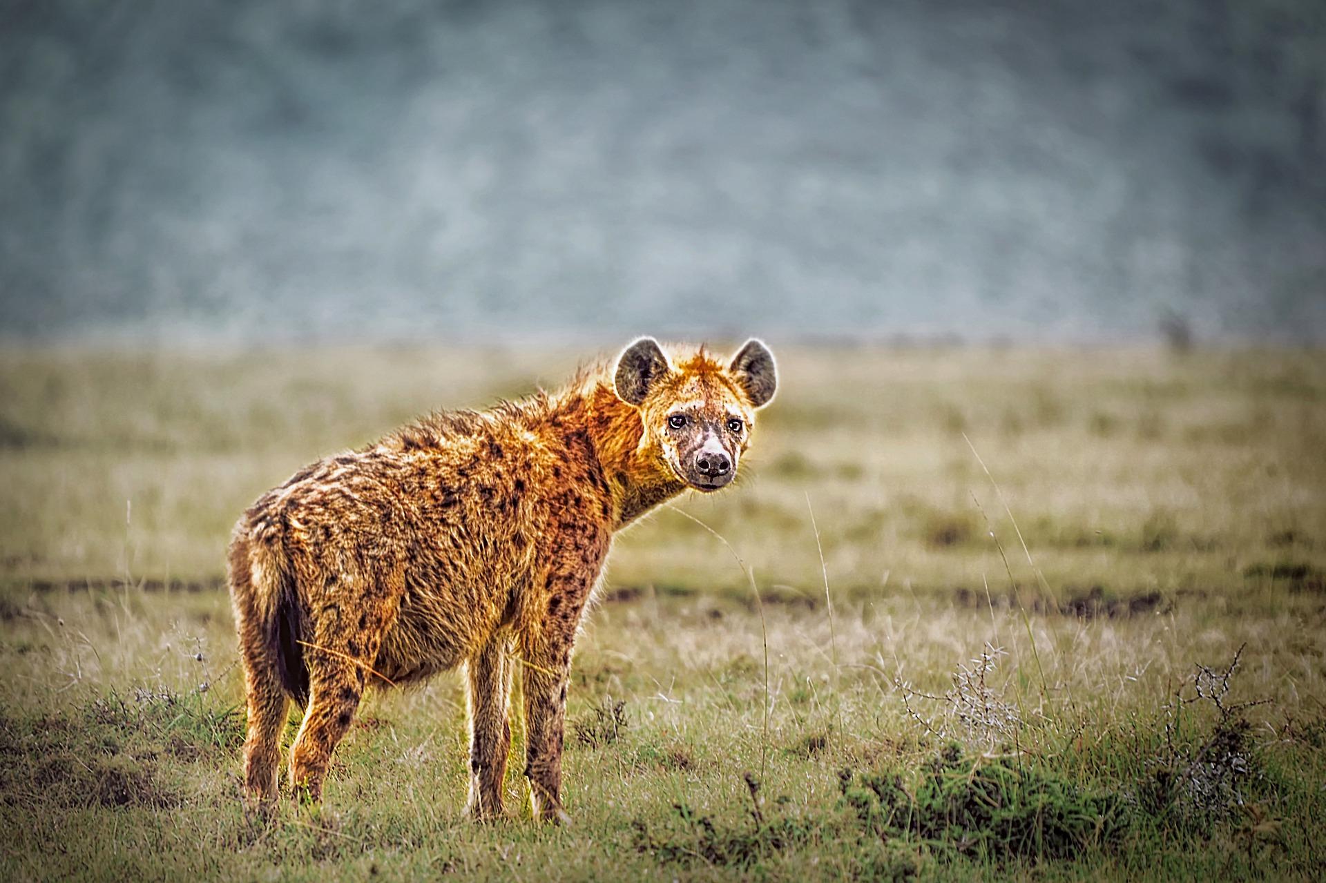 Tüpfelhyäne - hyena
