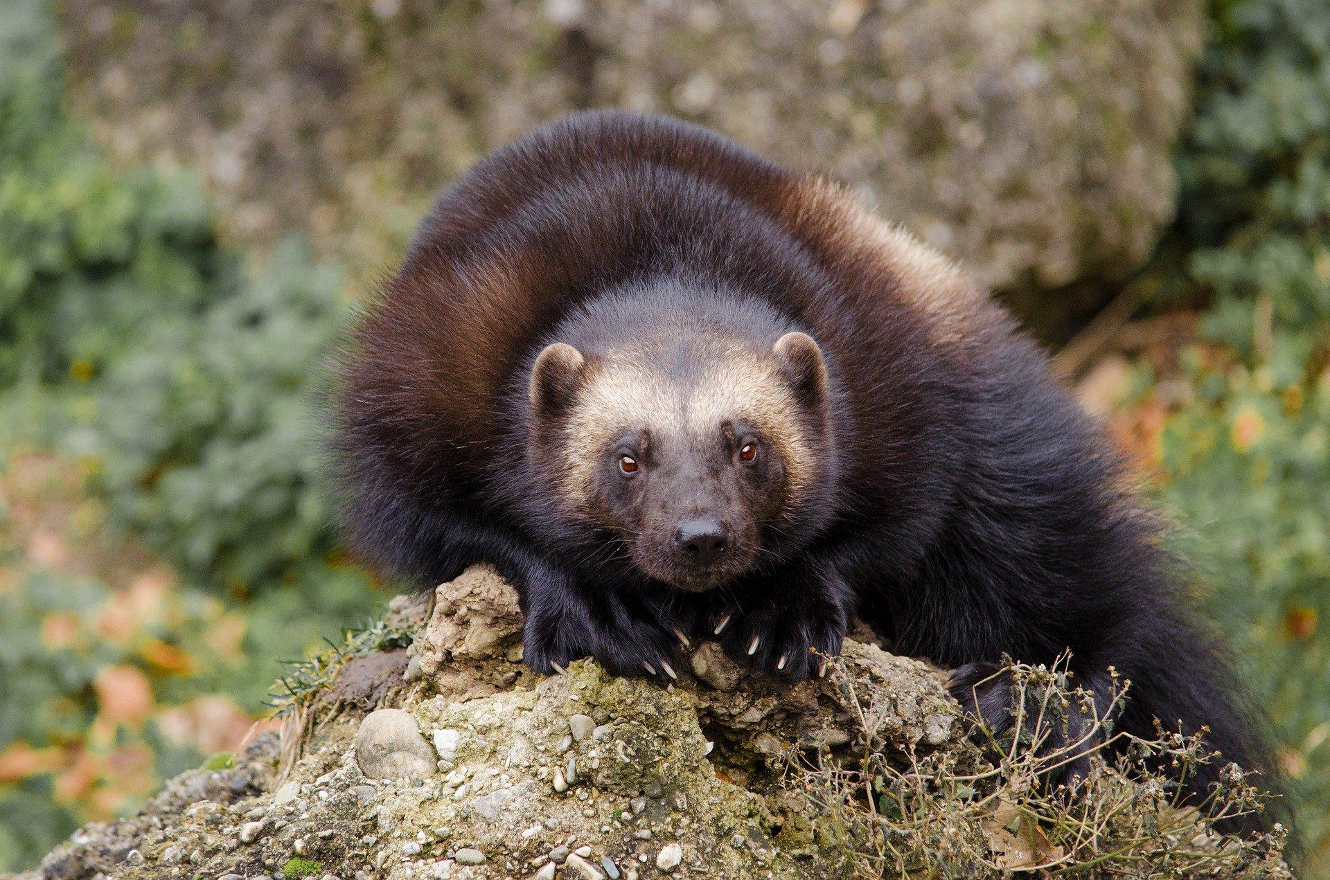Vielfraß (Bärenmarder) - wolverine