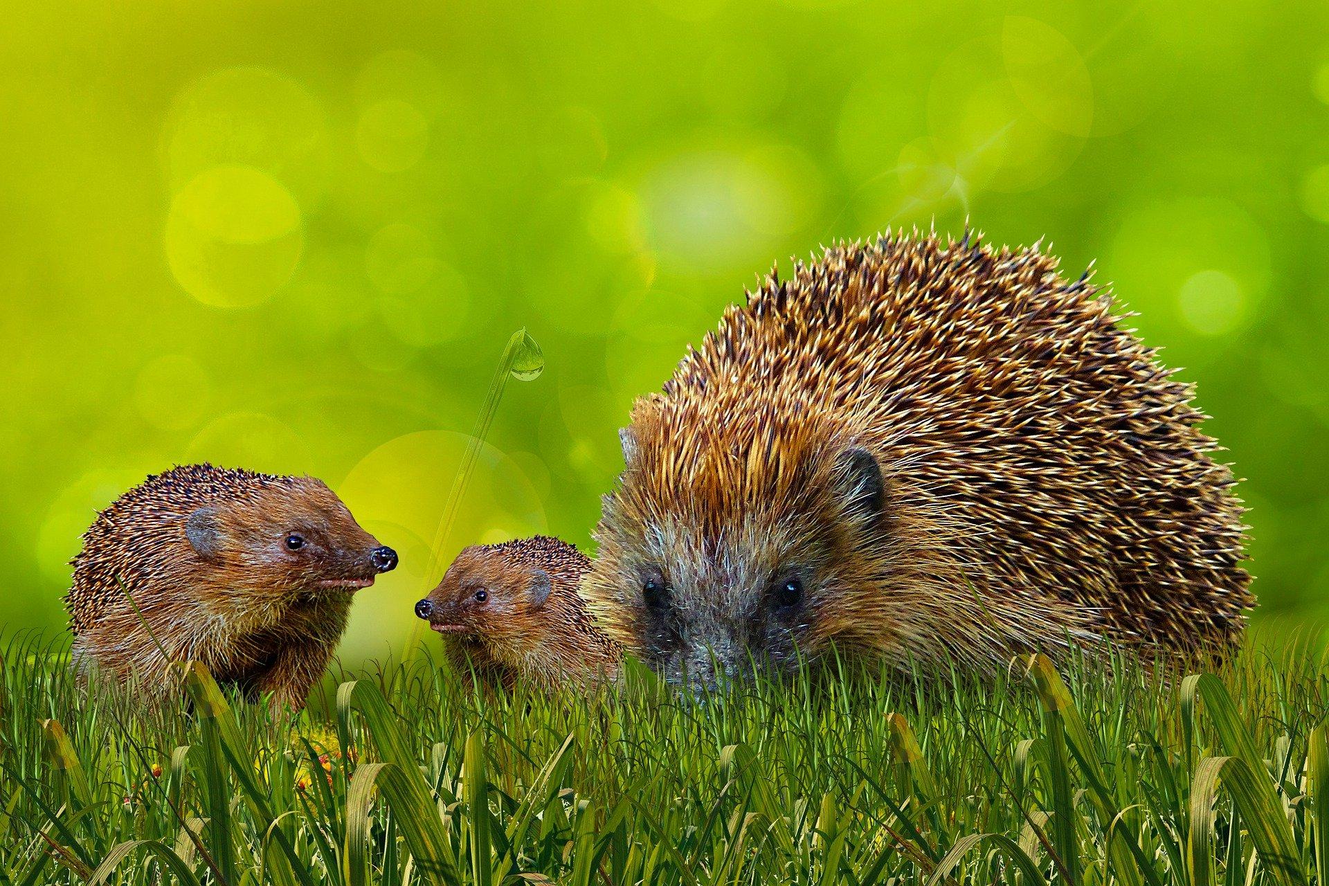 Igel - hedgehog