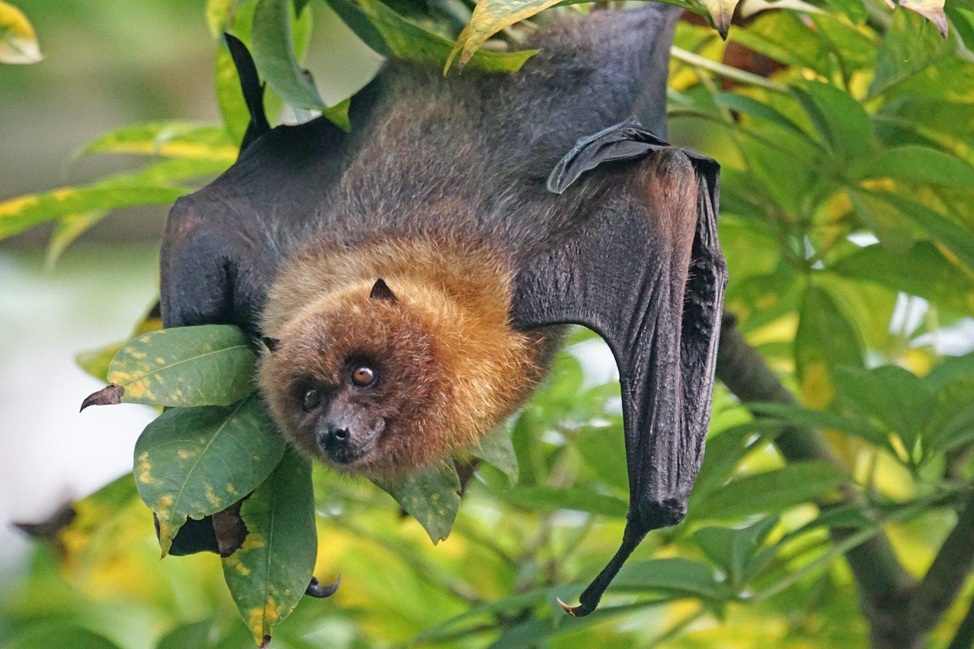 Flughund (flying fox/fruit bats)
