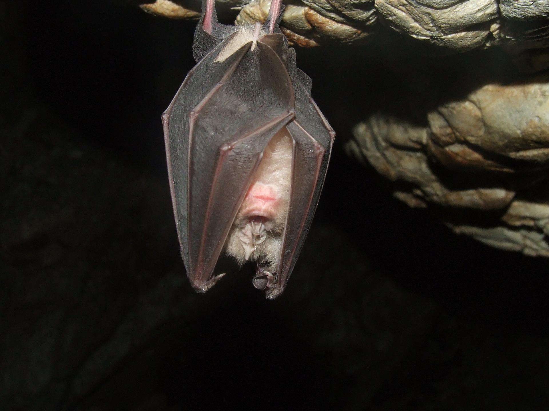 Fledermaus - bat