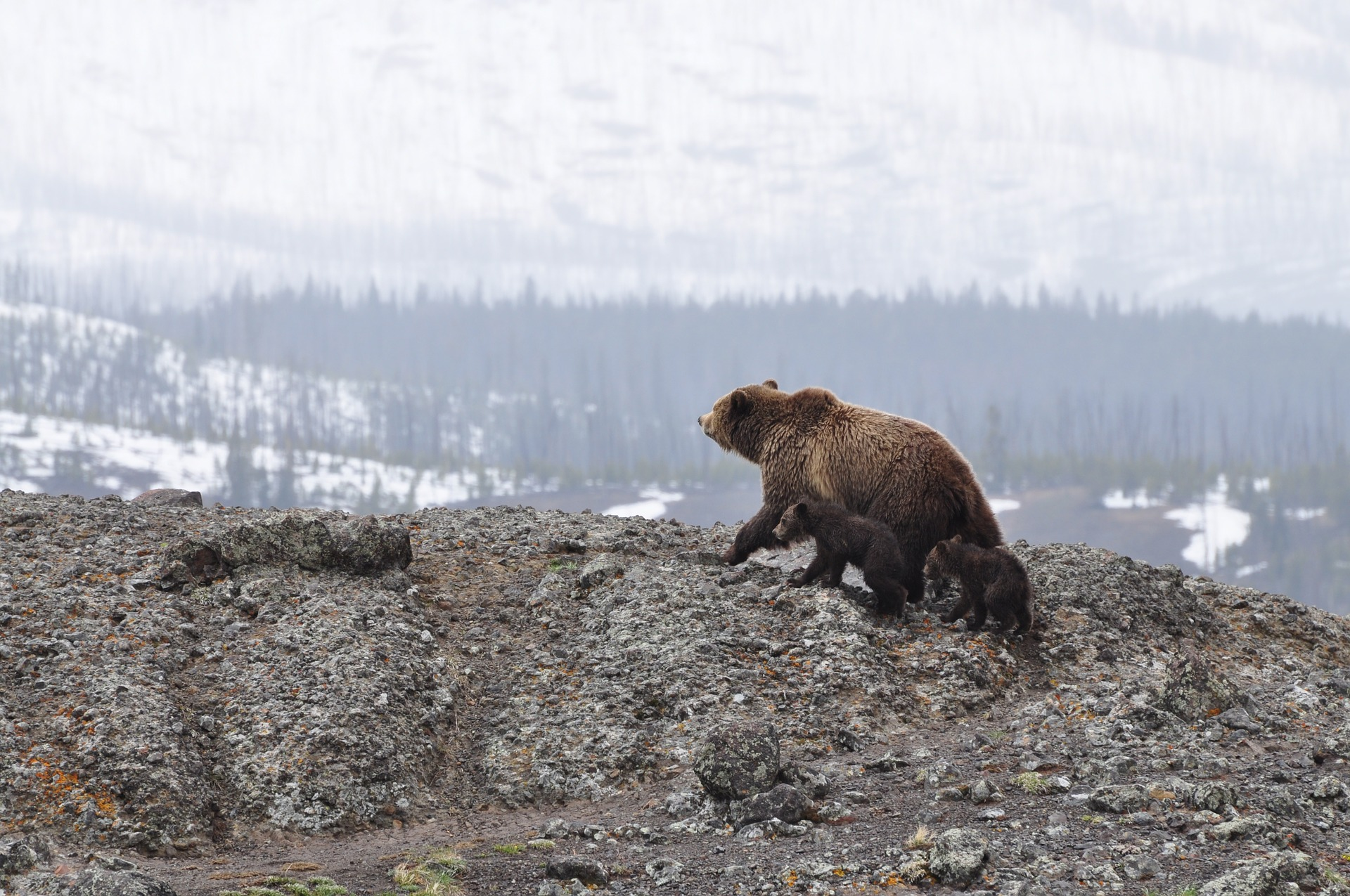 Grizzlybär (Graubär) - grizzly