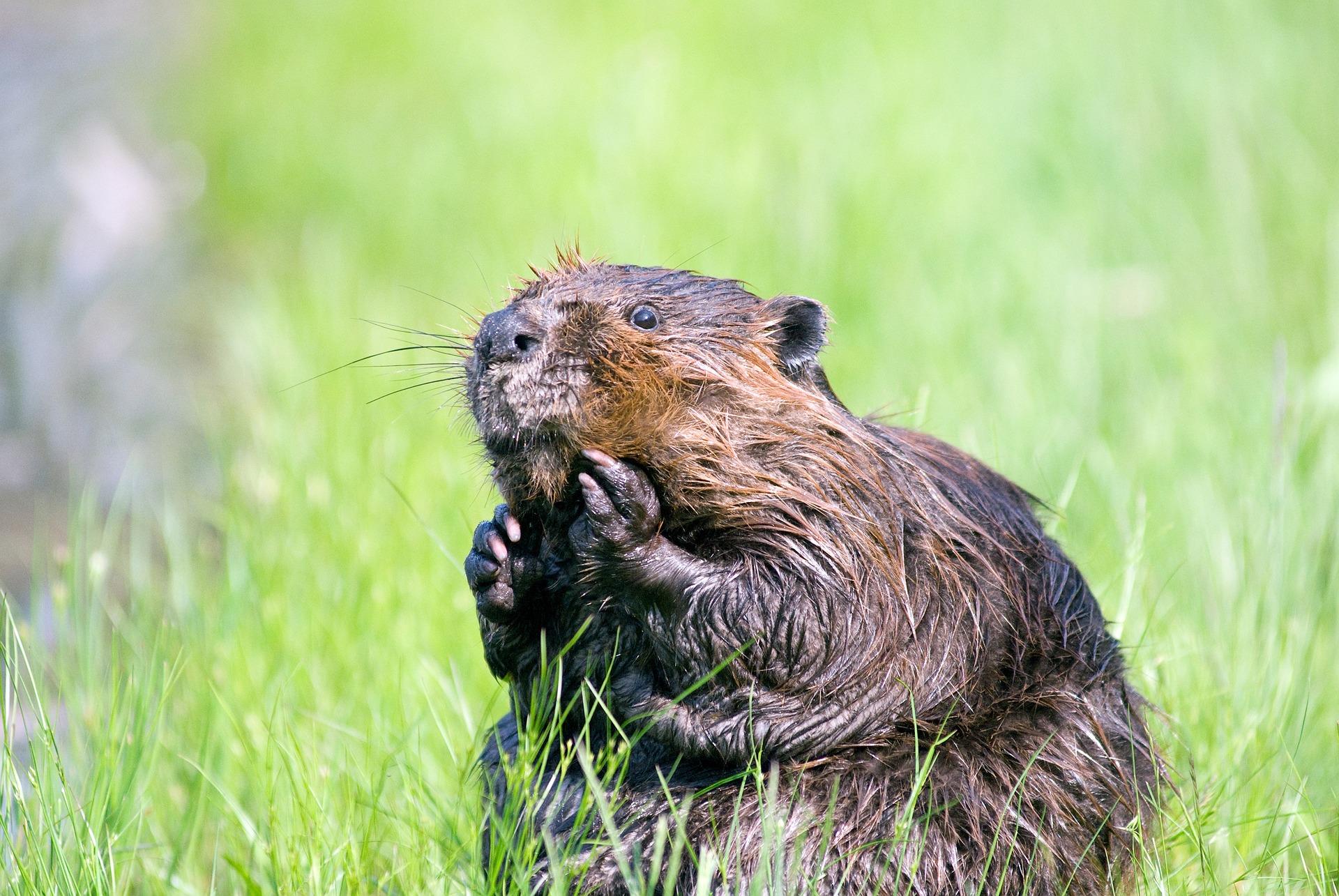 Biber - beaver