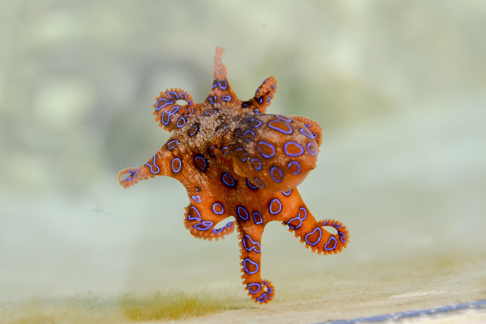Blaugeringelte, hoch giftige Krake (blue ringed octopus)