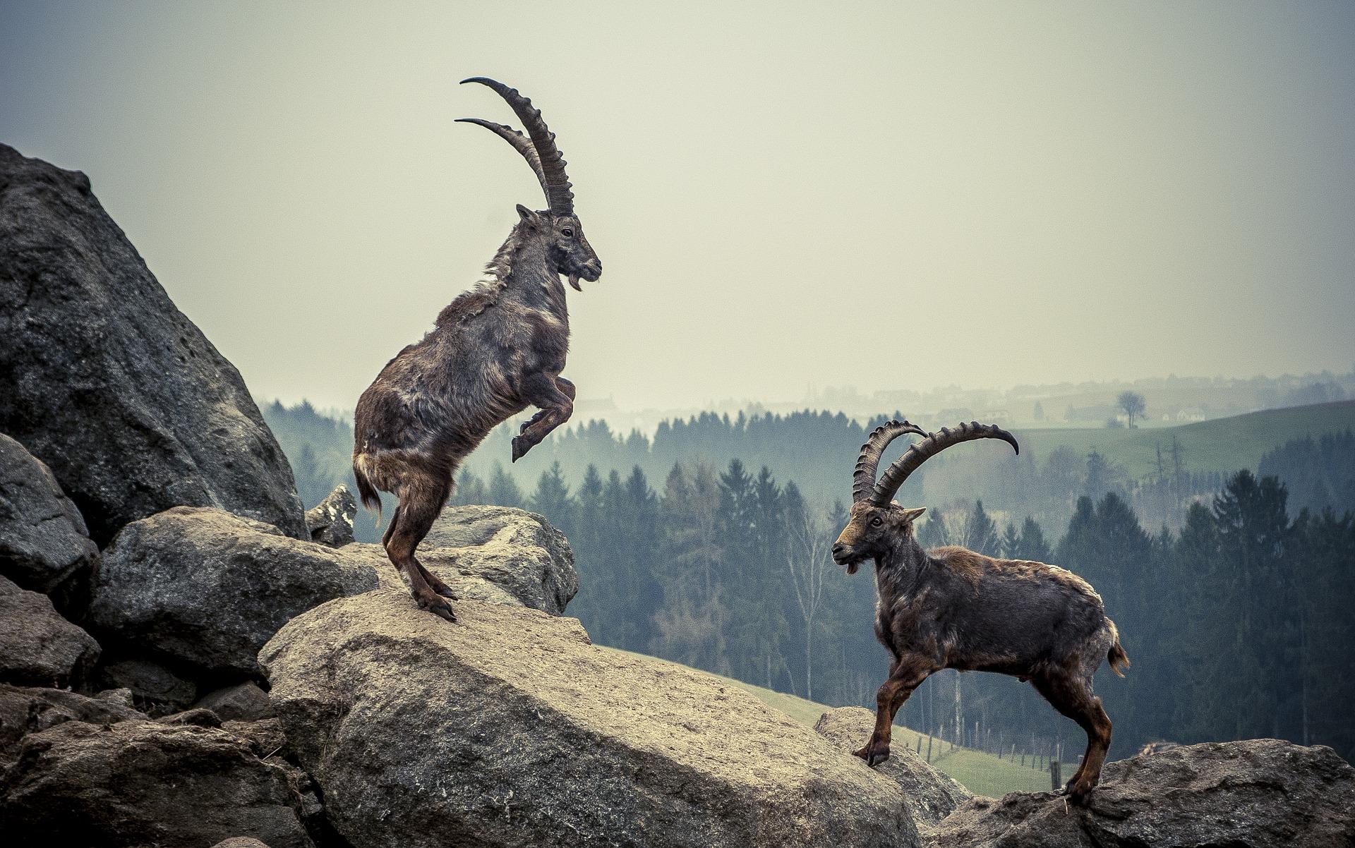 Alpensteinbock - ibex