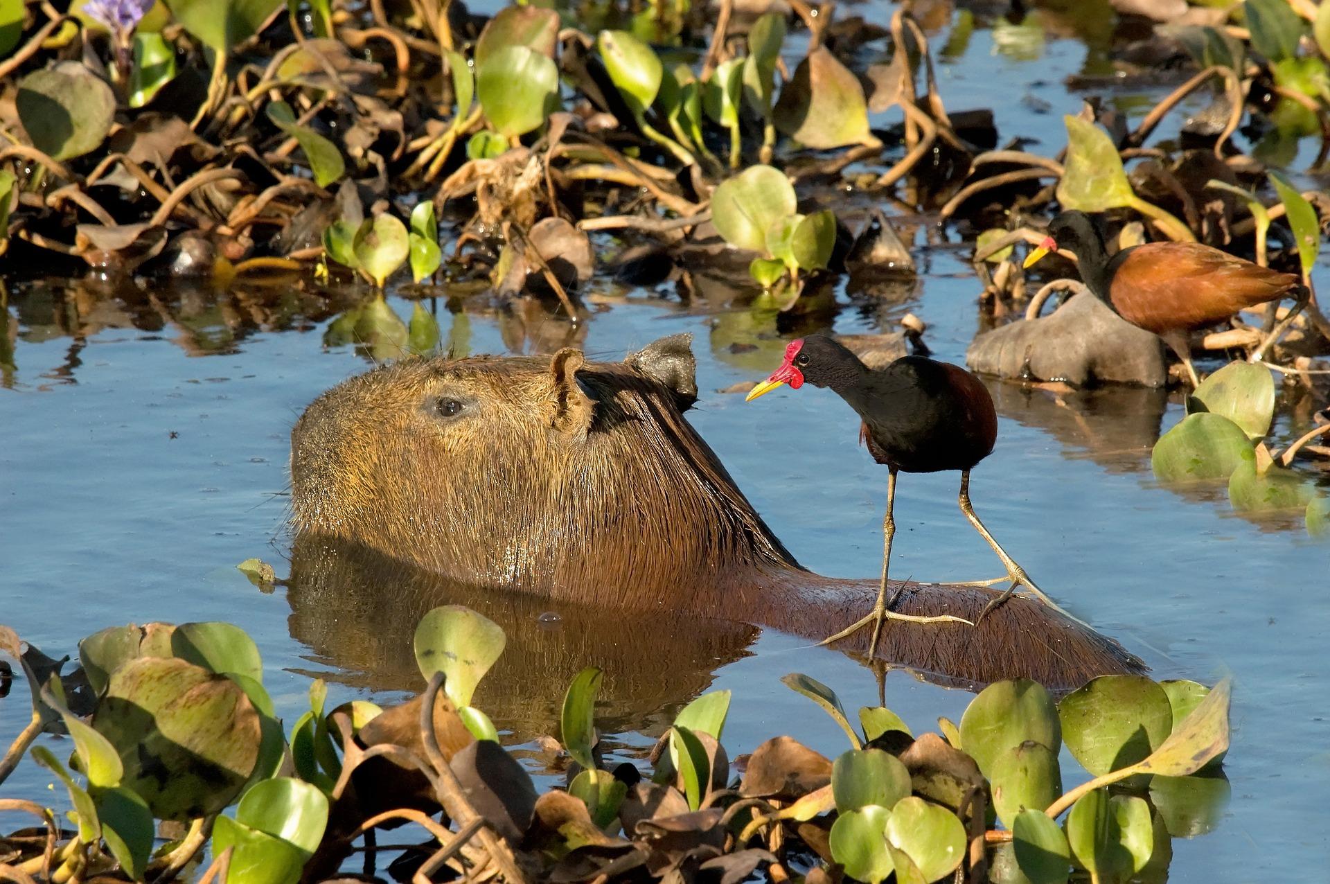 Capybara (Wasserschwein))