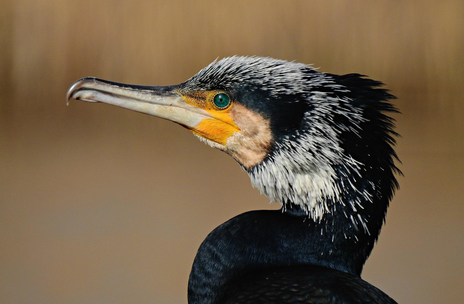 Kormoran - cormorant