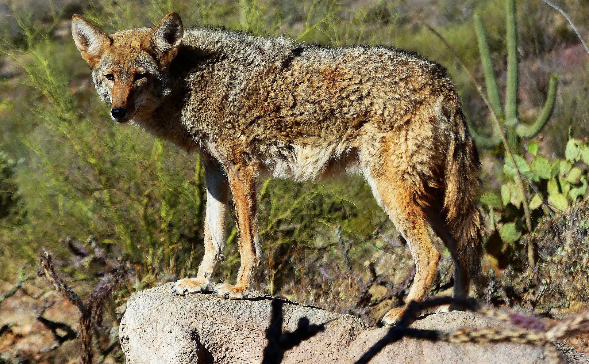 Kojote - coyote
