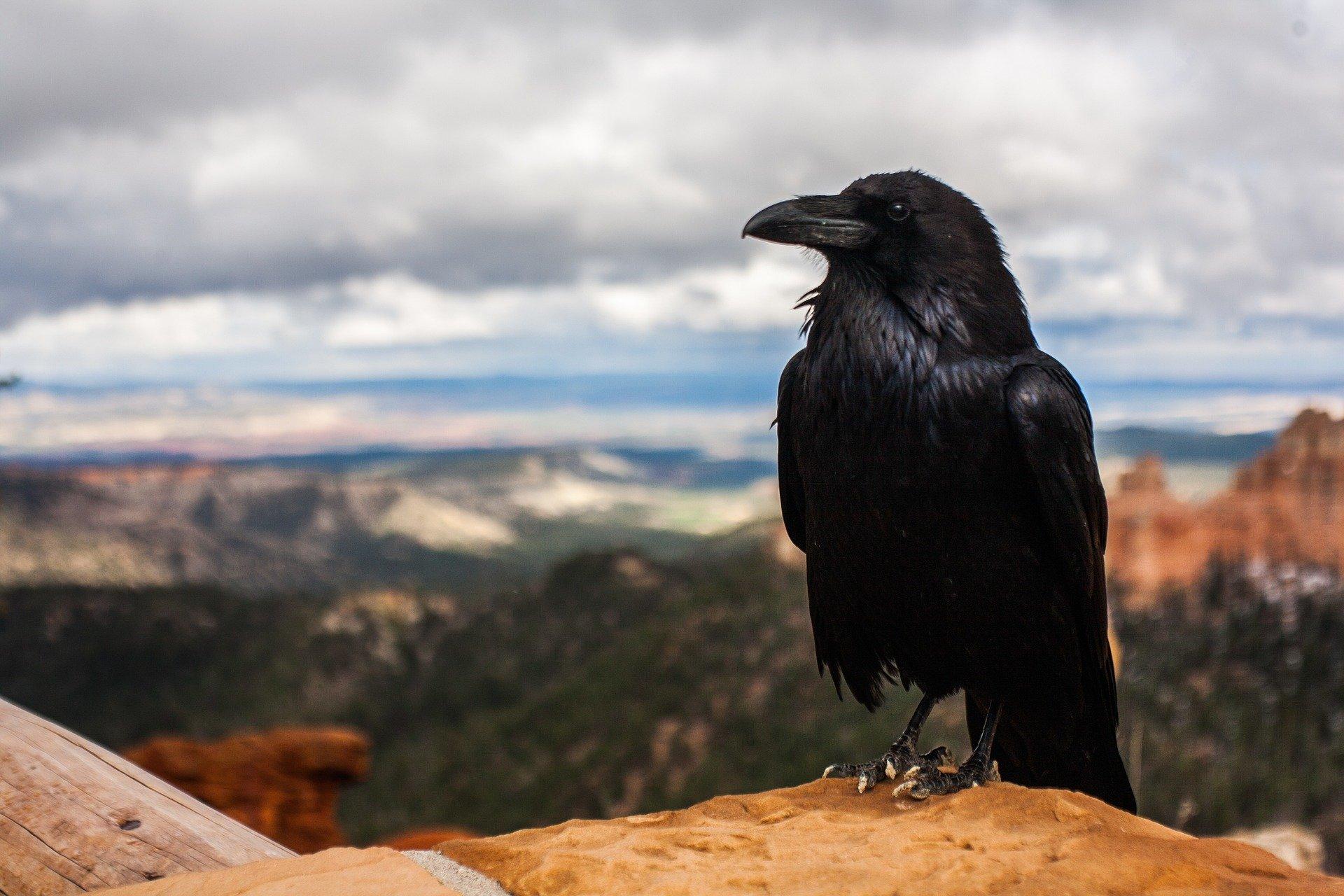 Krähe - crow