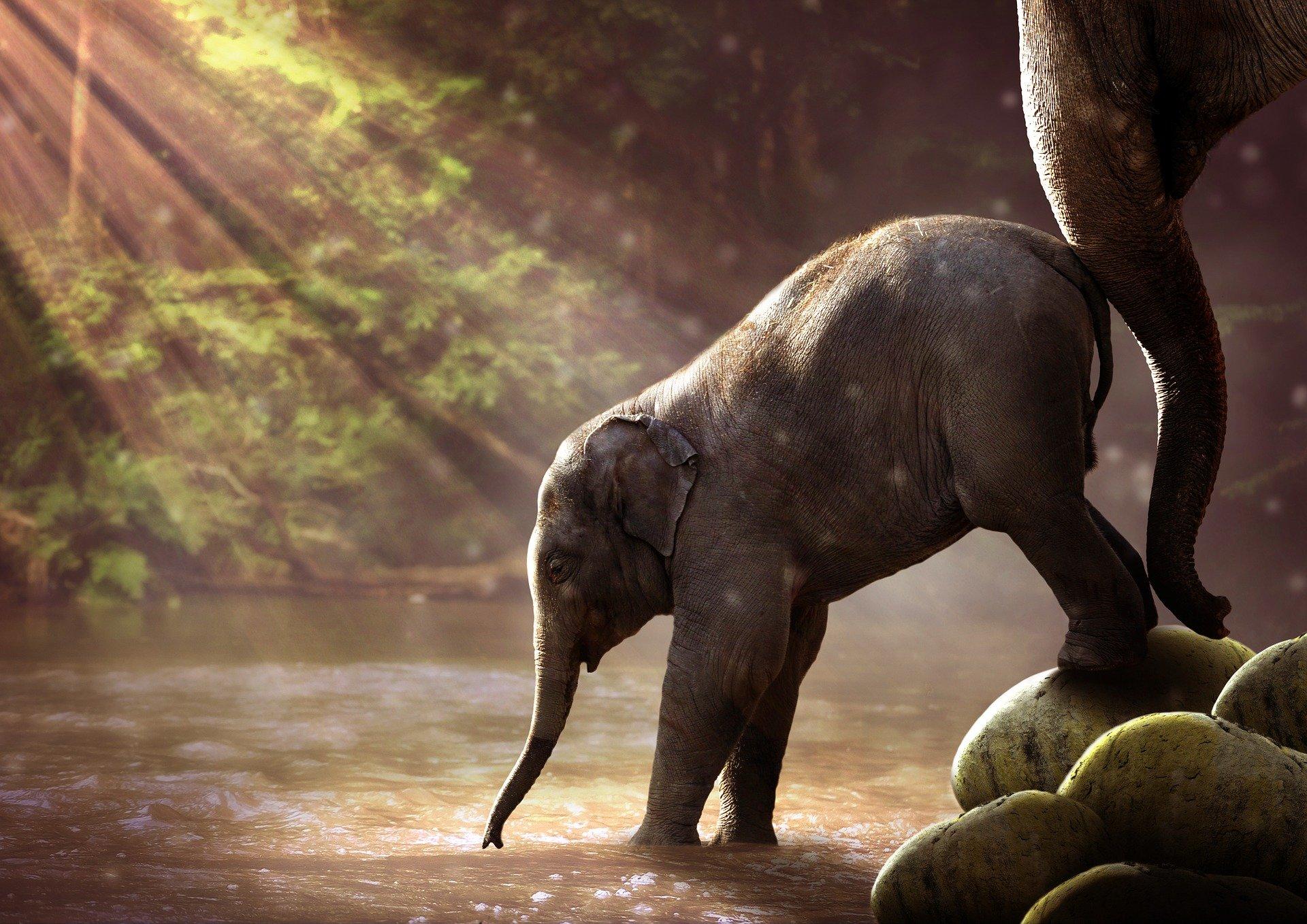 Asiatischer Elefant - elephant