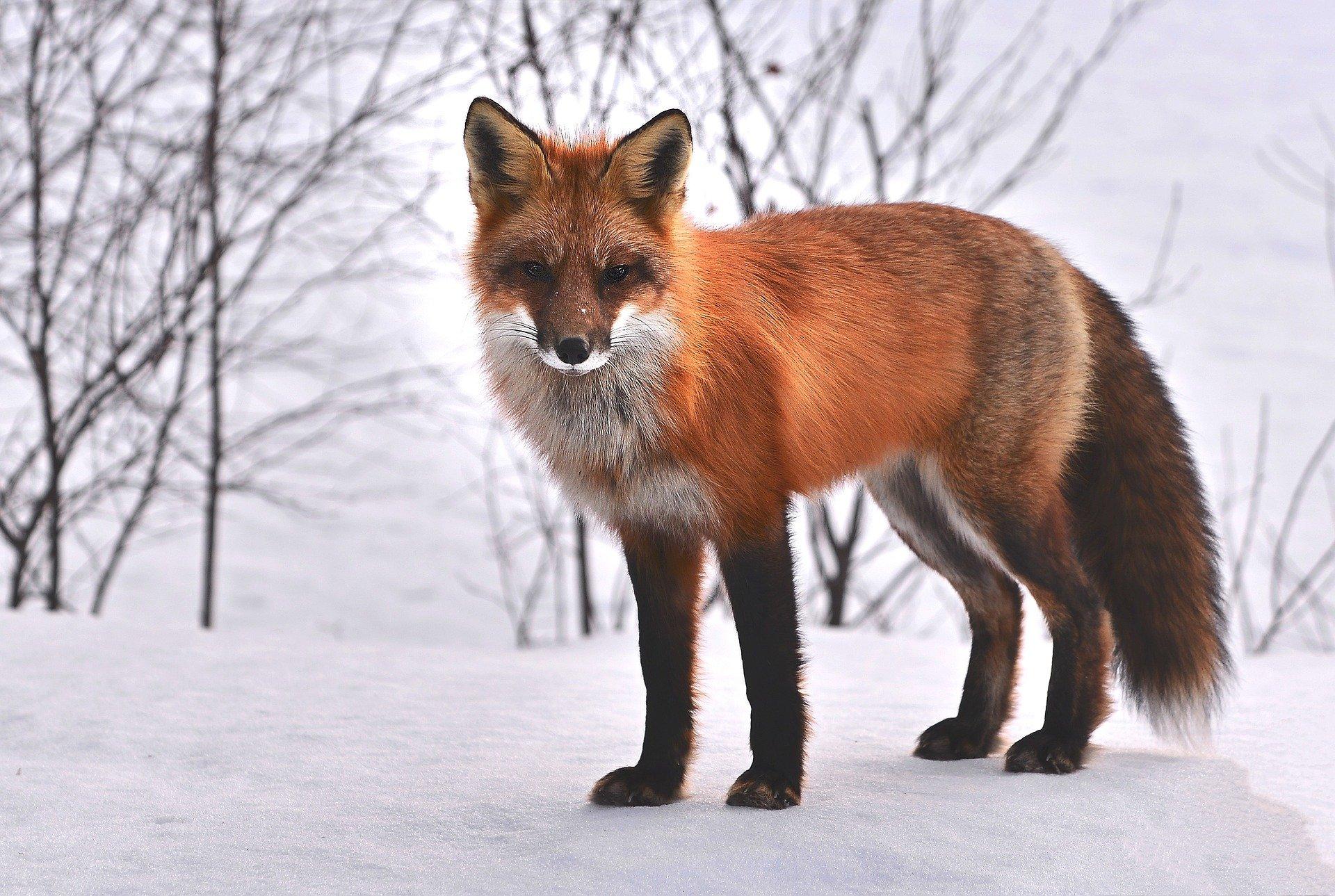 Rotfuchs - red fox