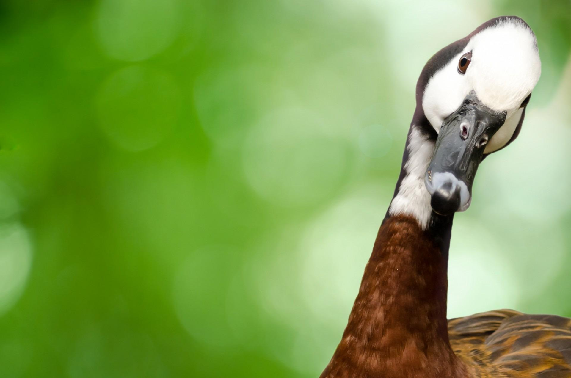 Witwenpfeifgans - widow whistling goose