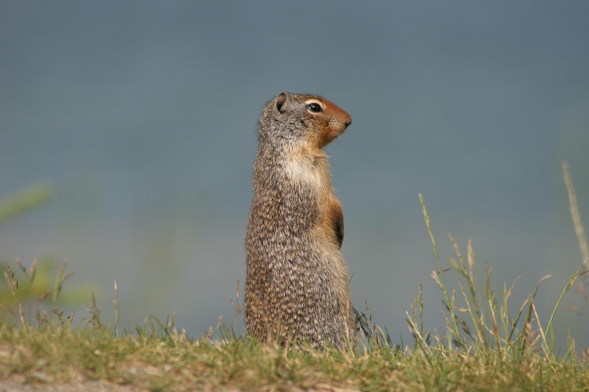 Ziesel - ground squirrel
