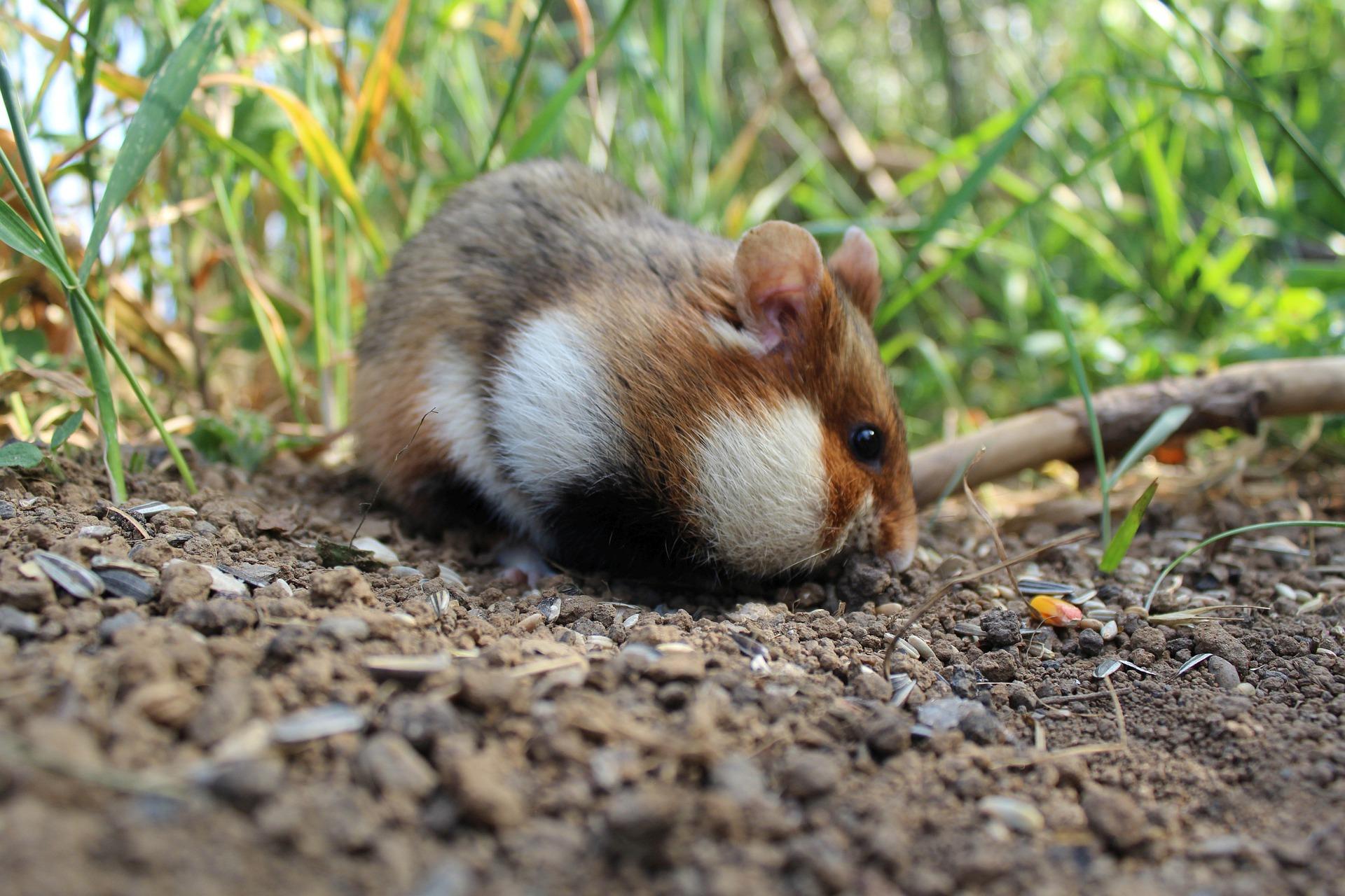 Feldhamster - european hamster