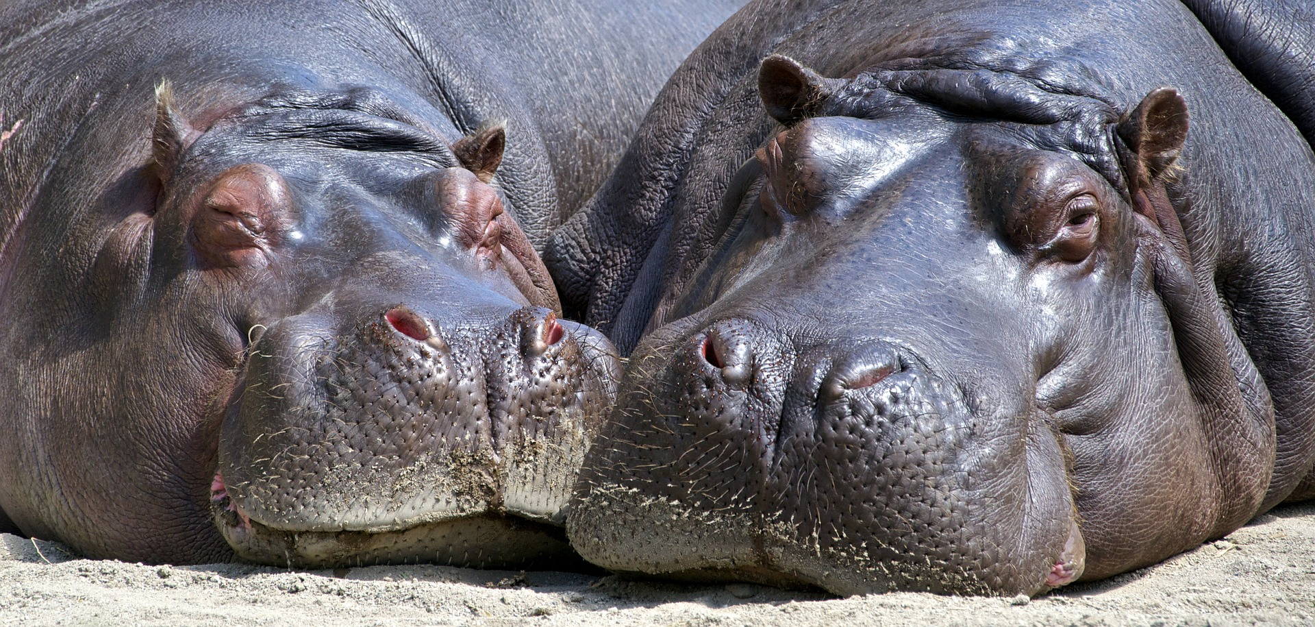 Flusspferd - hippo