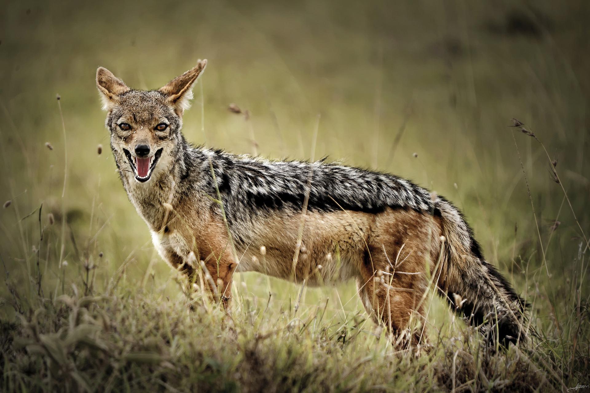 Schabrackenschakal - jackal