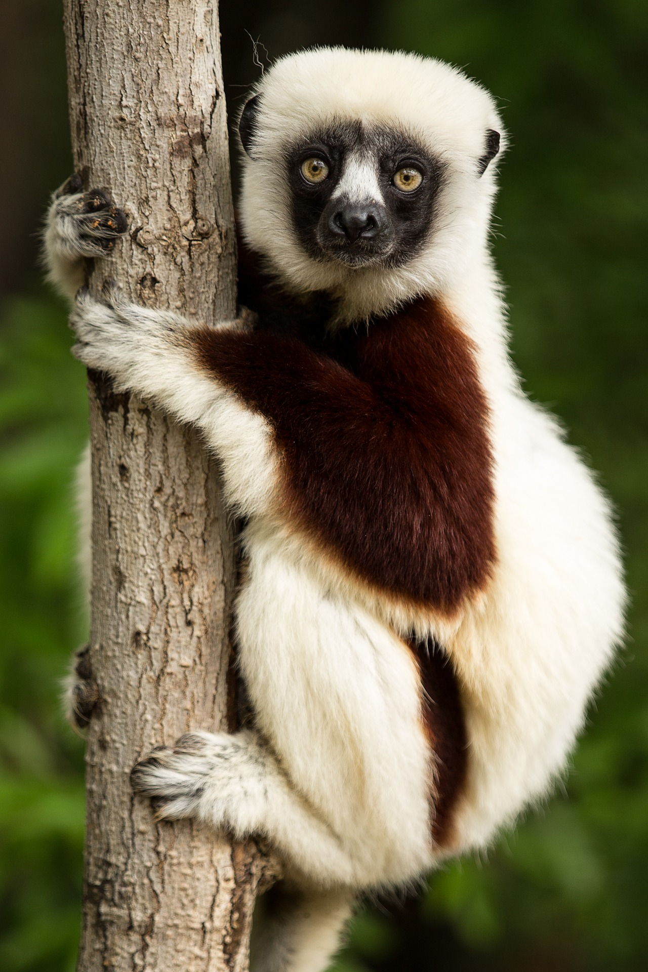 Lemur - lemur (Coquerel-Sifaka)