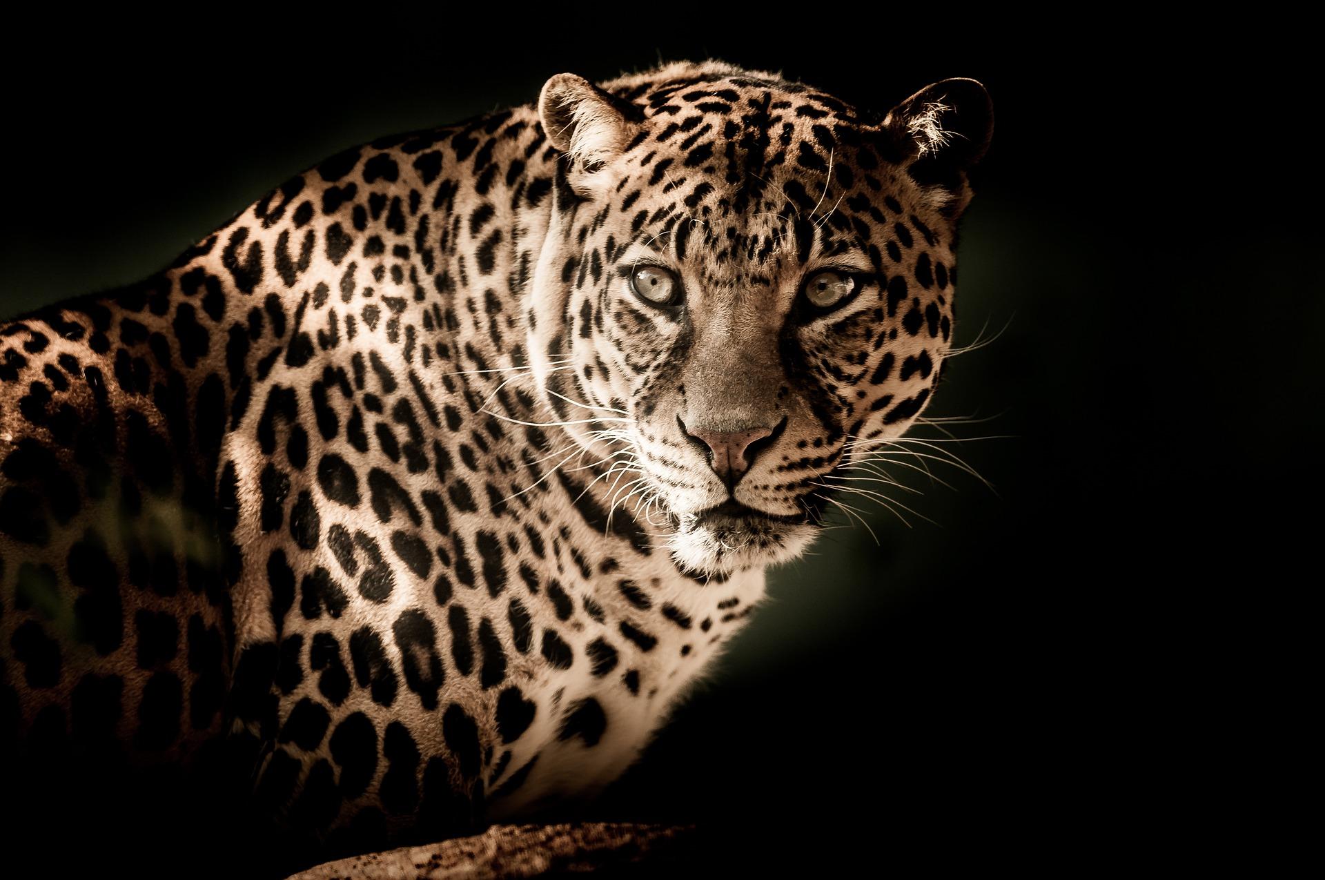 Leopard - leopard