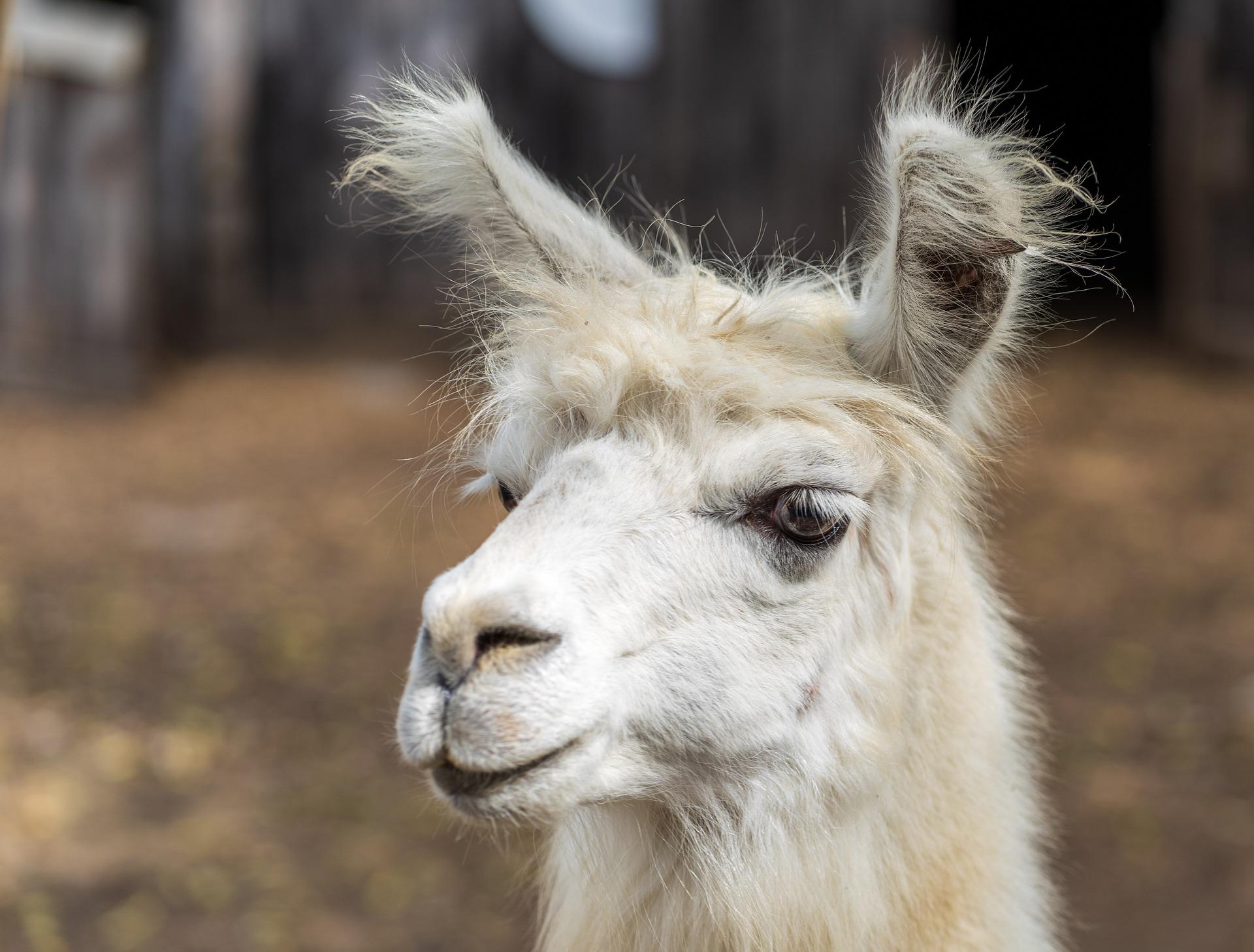 Lama - llama