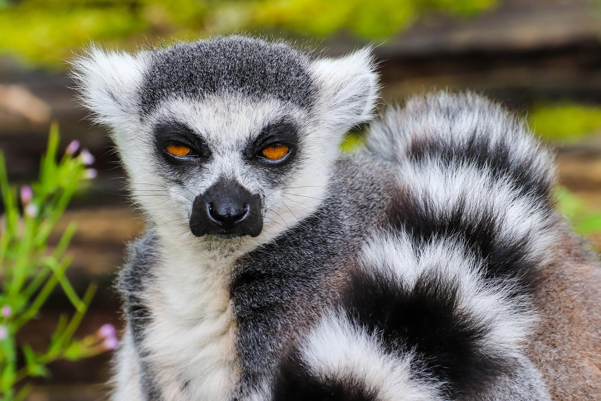 Lemur - lemur (Katta)