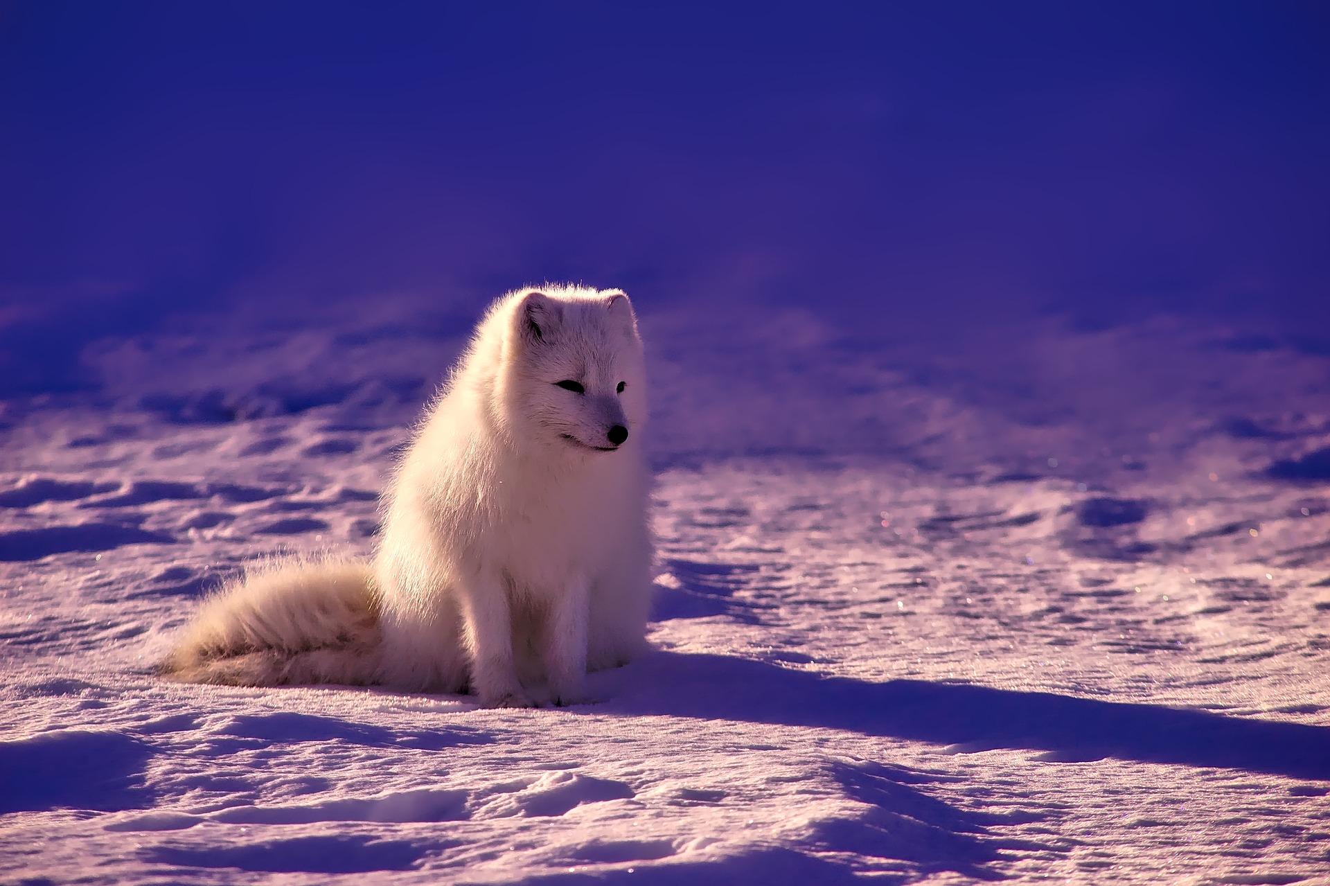 Polarfuchs - polar fox