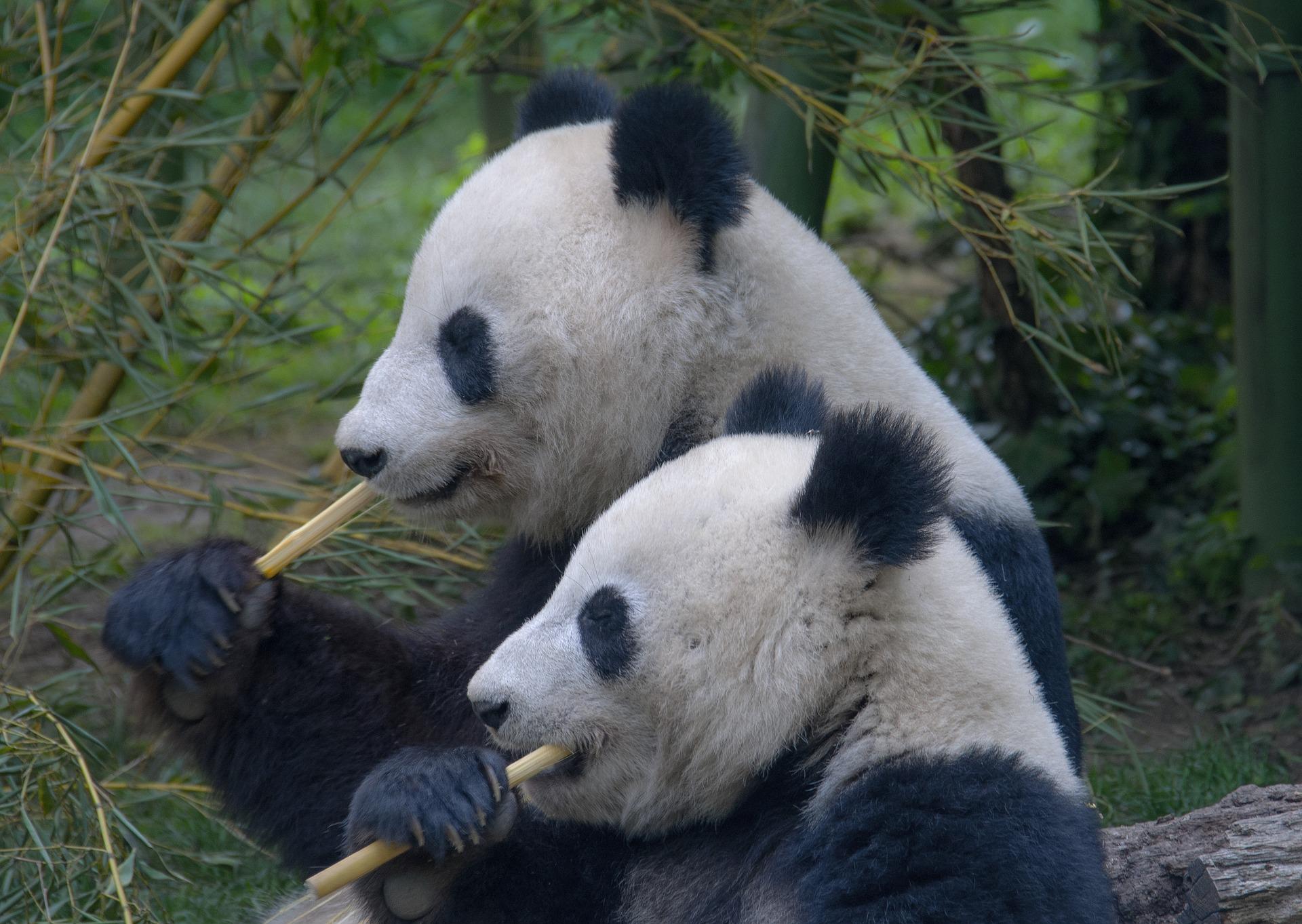 Großer Panda - big panda