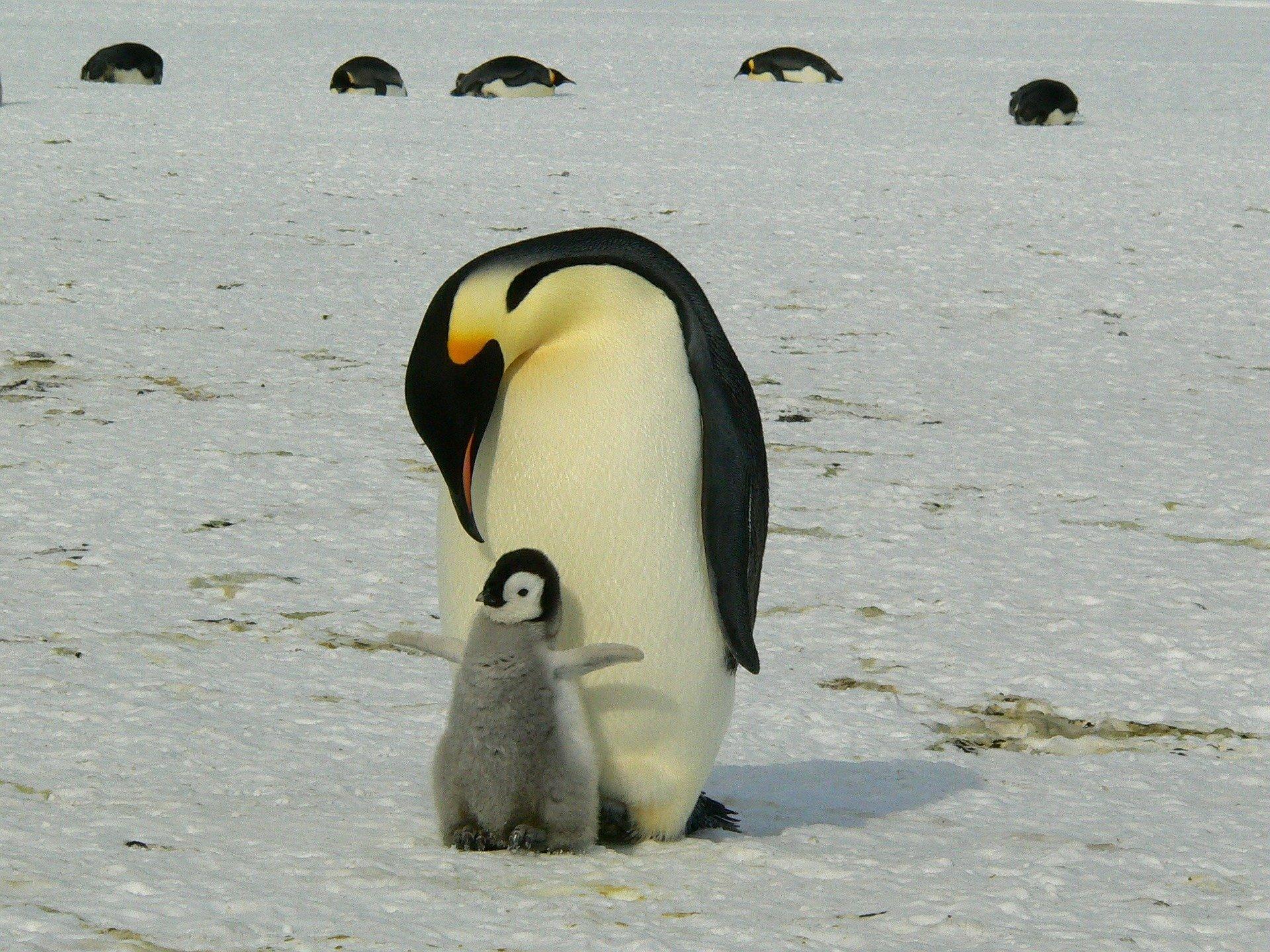 Kaiserpinguin - emporer penguin