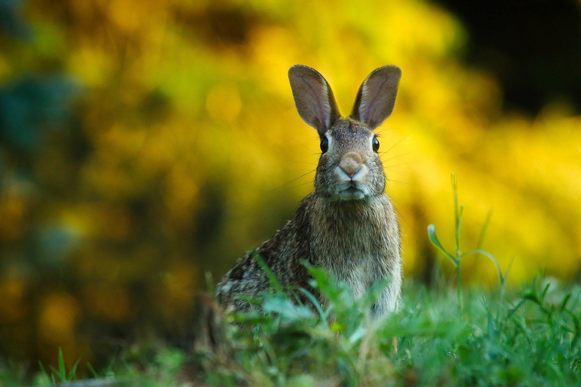 Kaninchen - rabbit
