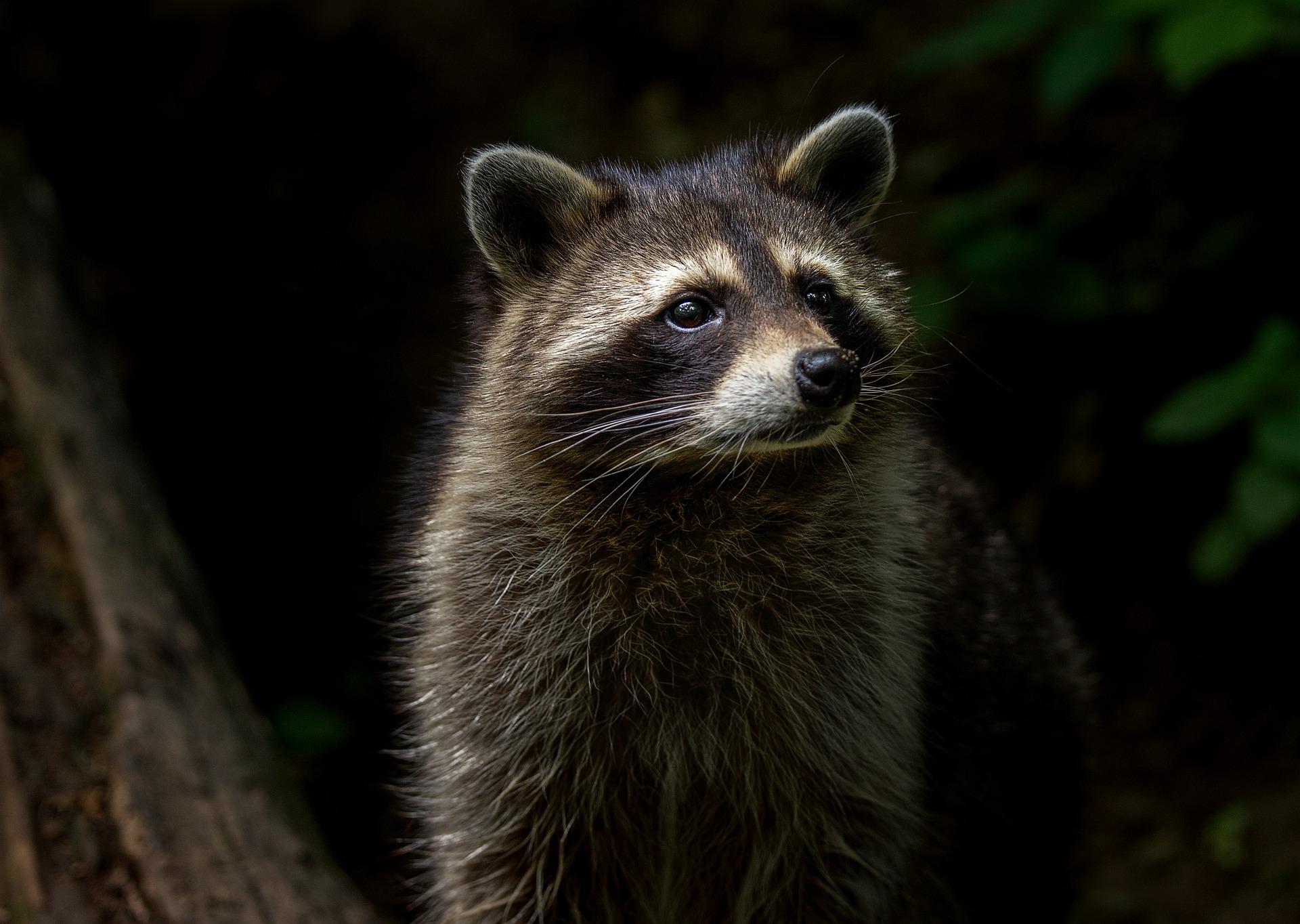 Waschbär - raccoon