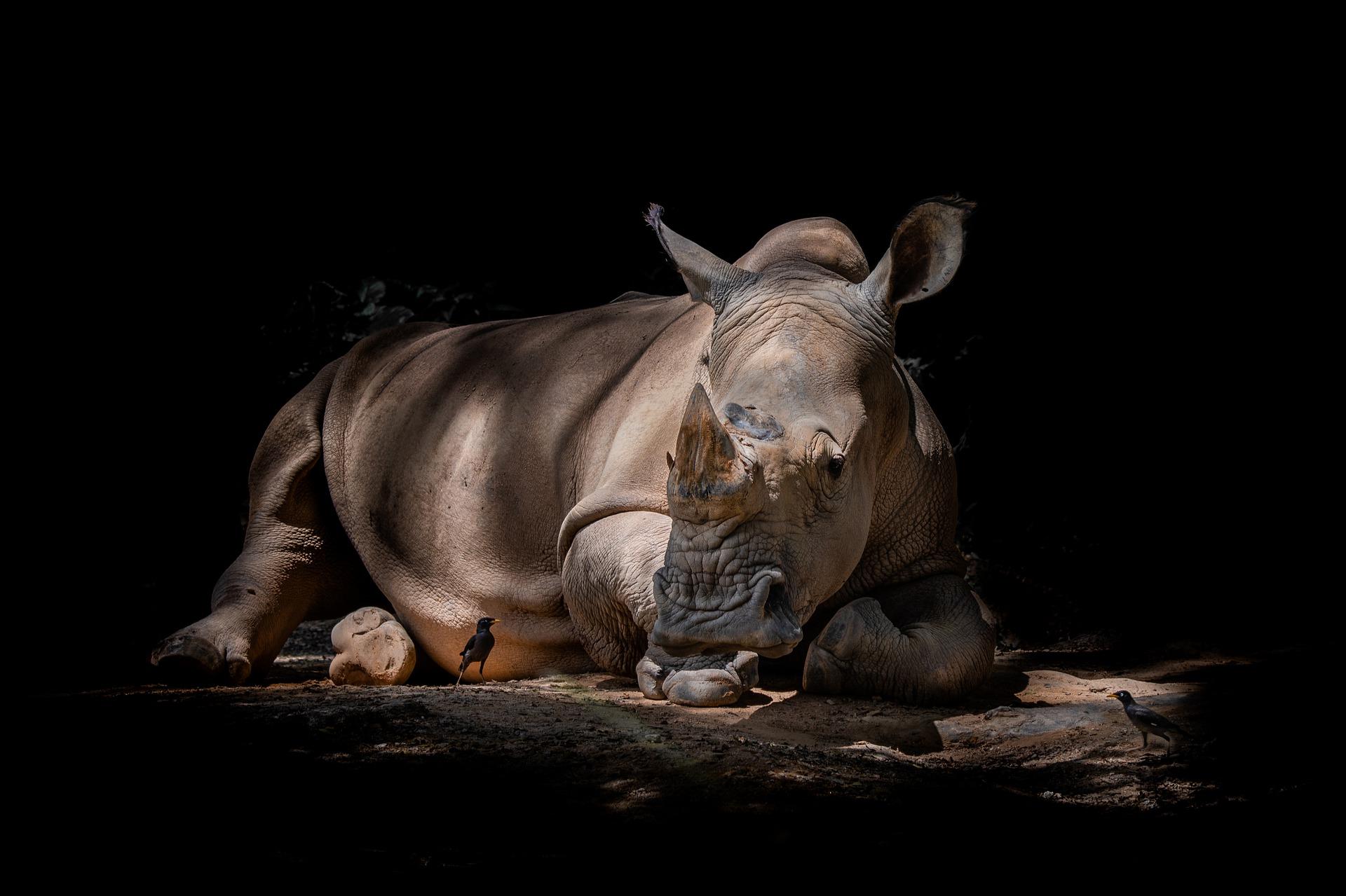 Nashorn - rhino
