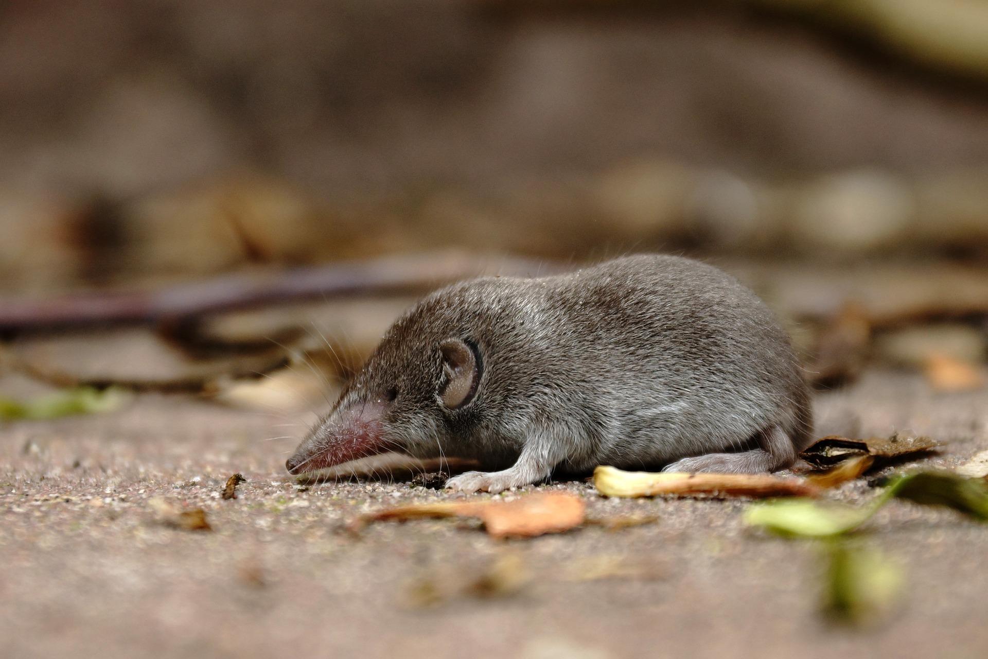 Spitzmaus - shrew