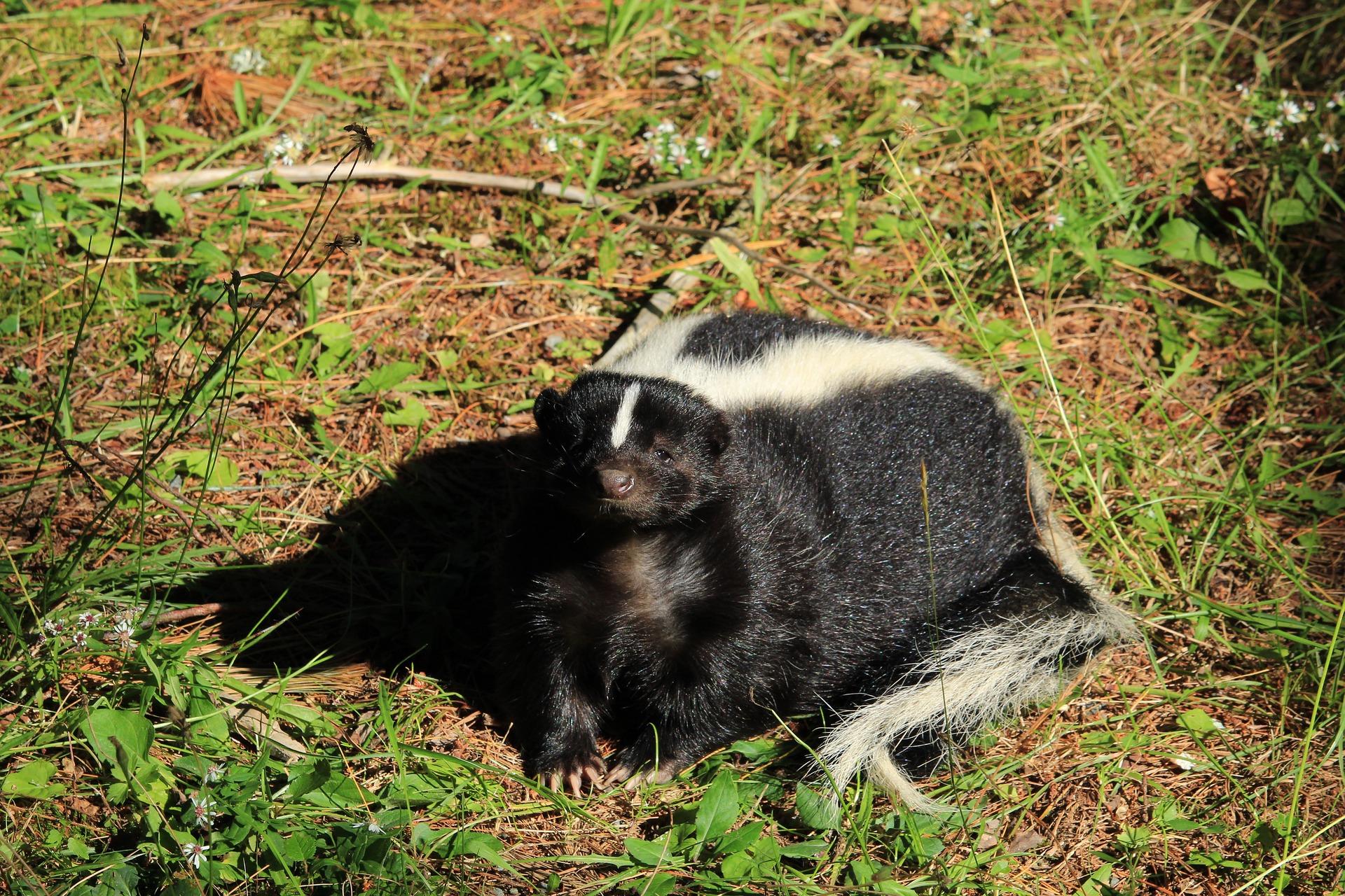 Streifenskunk - skunk