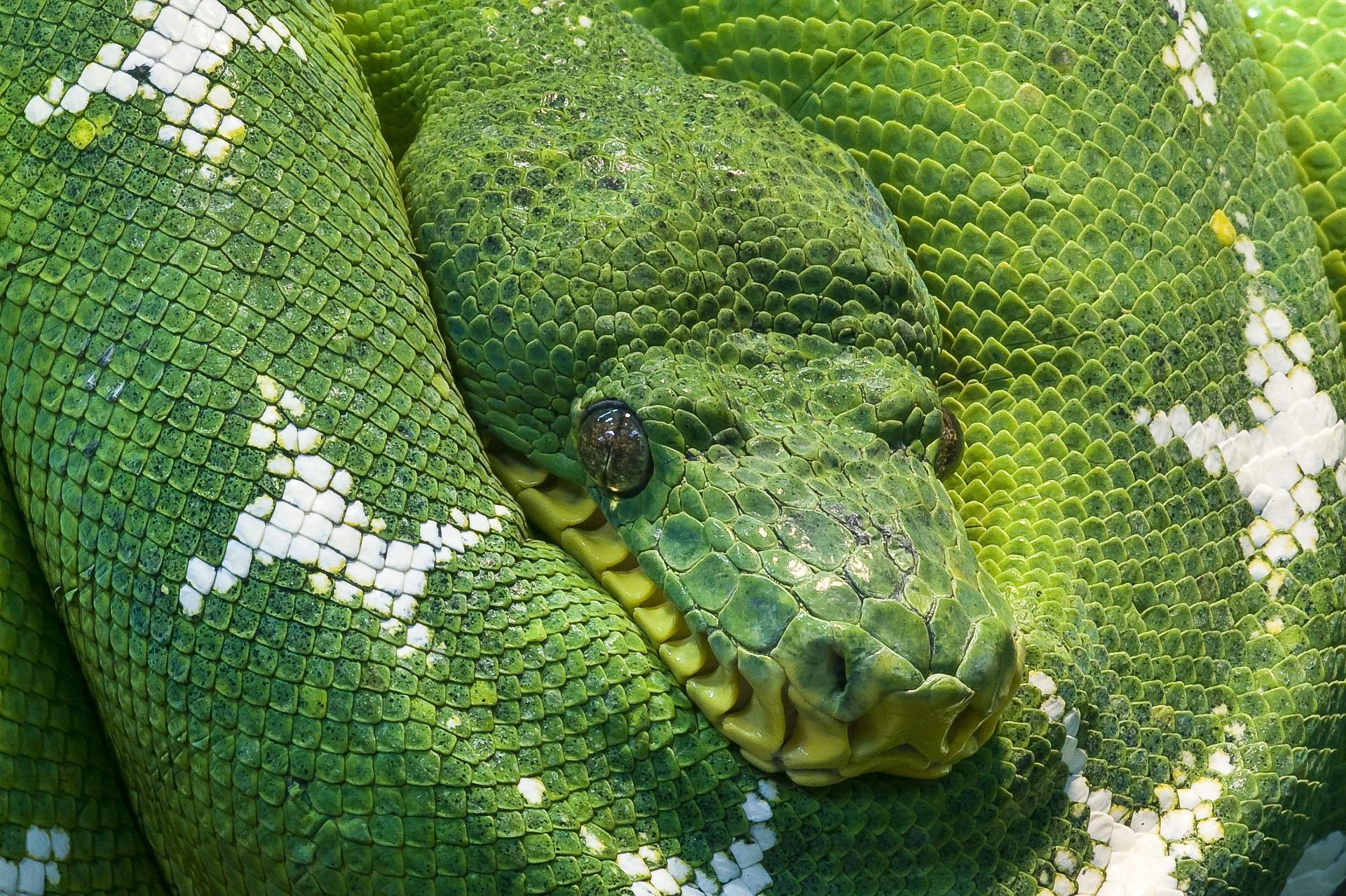 Grüner Baumpython - green tree python