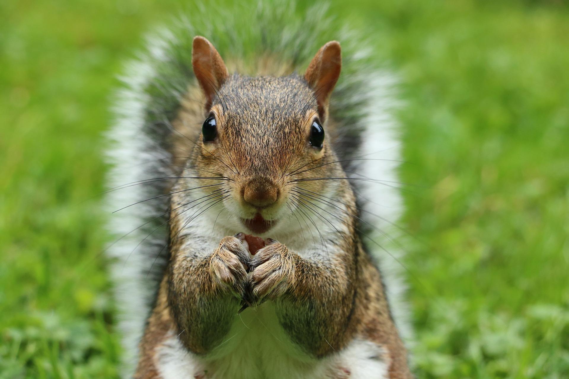 Grauhörnchen - gray squirrel