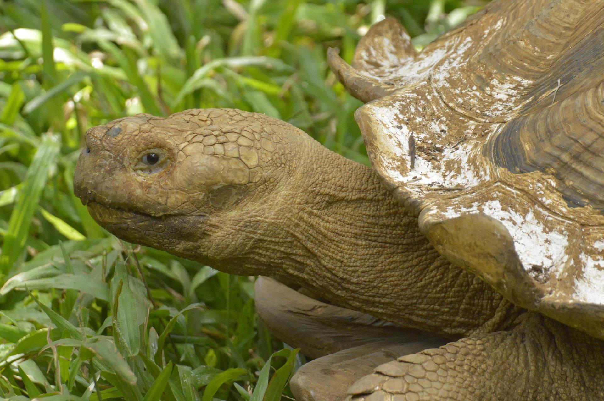 Landschildkröte - tortoise