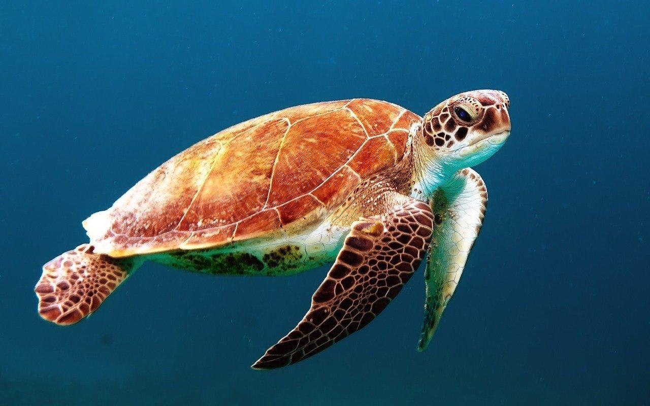 Meeresschildkröte - sea turtle