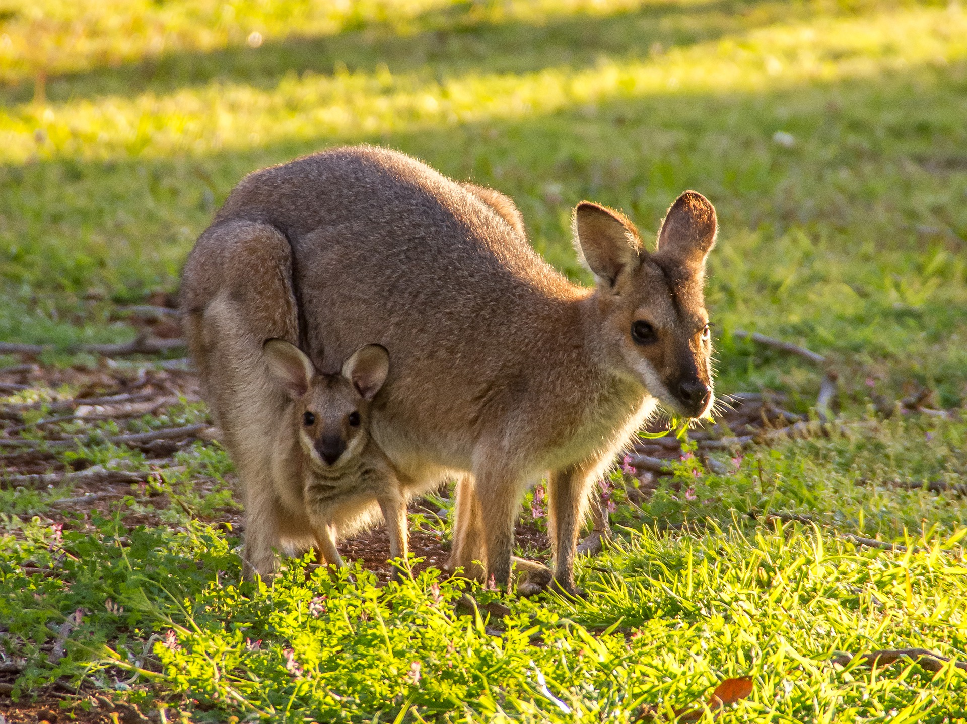 Känguru (Wallaby) - kangaroo (wallaby)