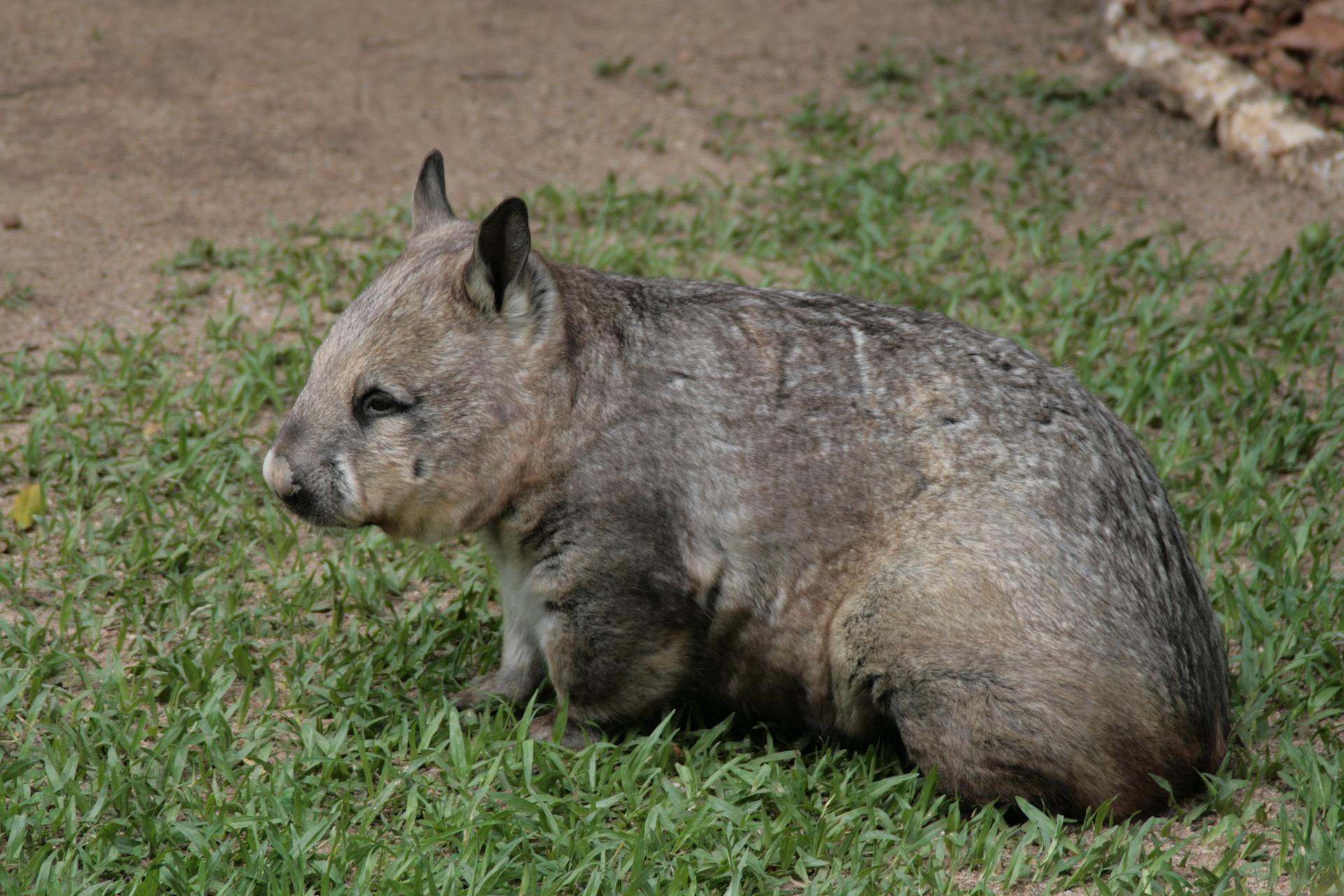 Wombat - wombat